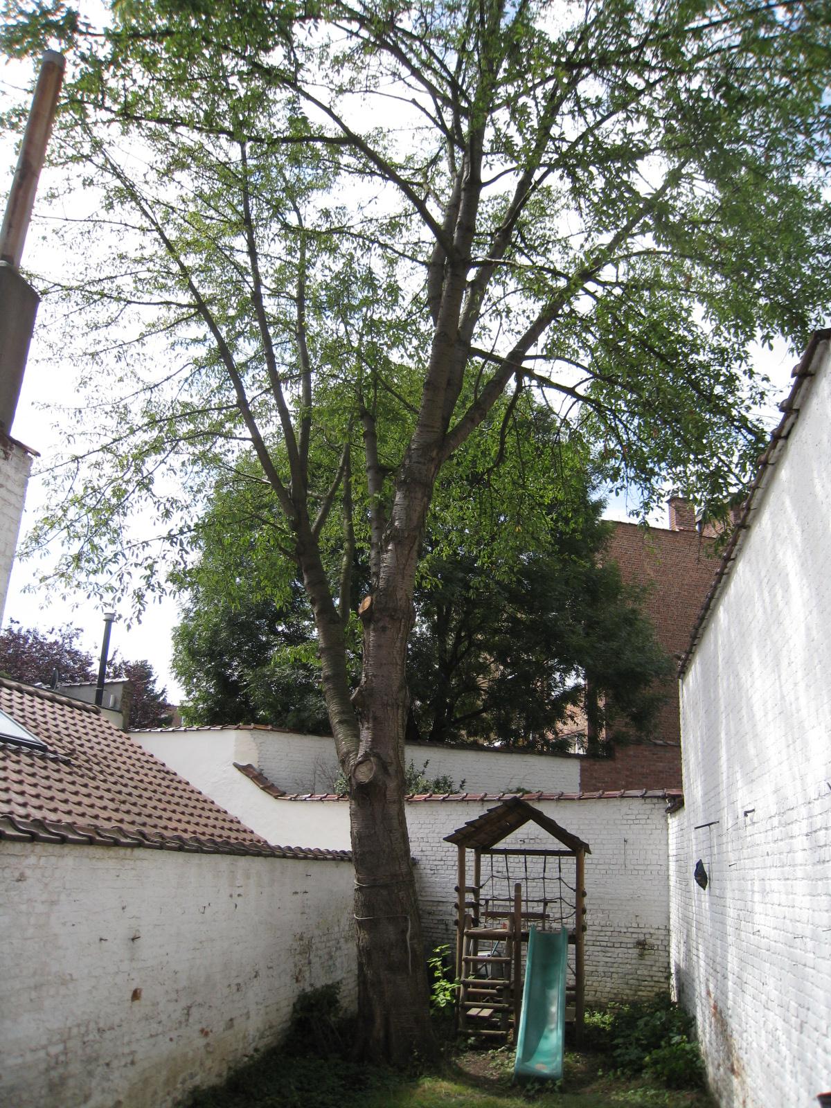 Merisier – Ixelles, Chaussée de Boondael, 487 –  21 Août 2009