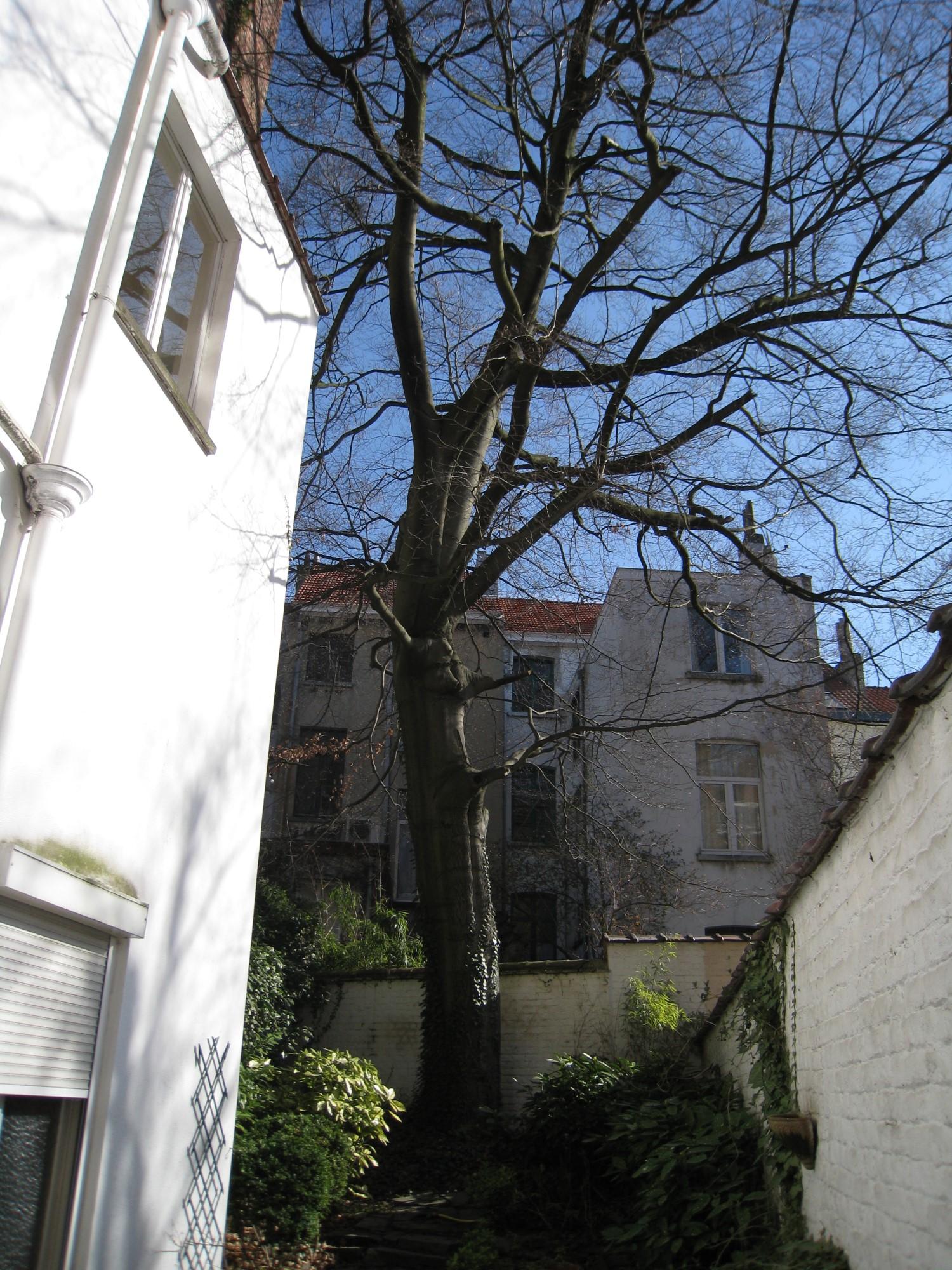 Hêtre d'Europe – Ixelles, Avenue des Eperons d'Or, 5 –  20 Mars 2009