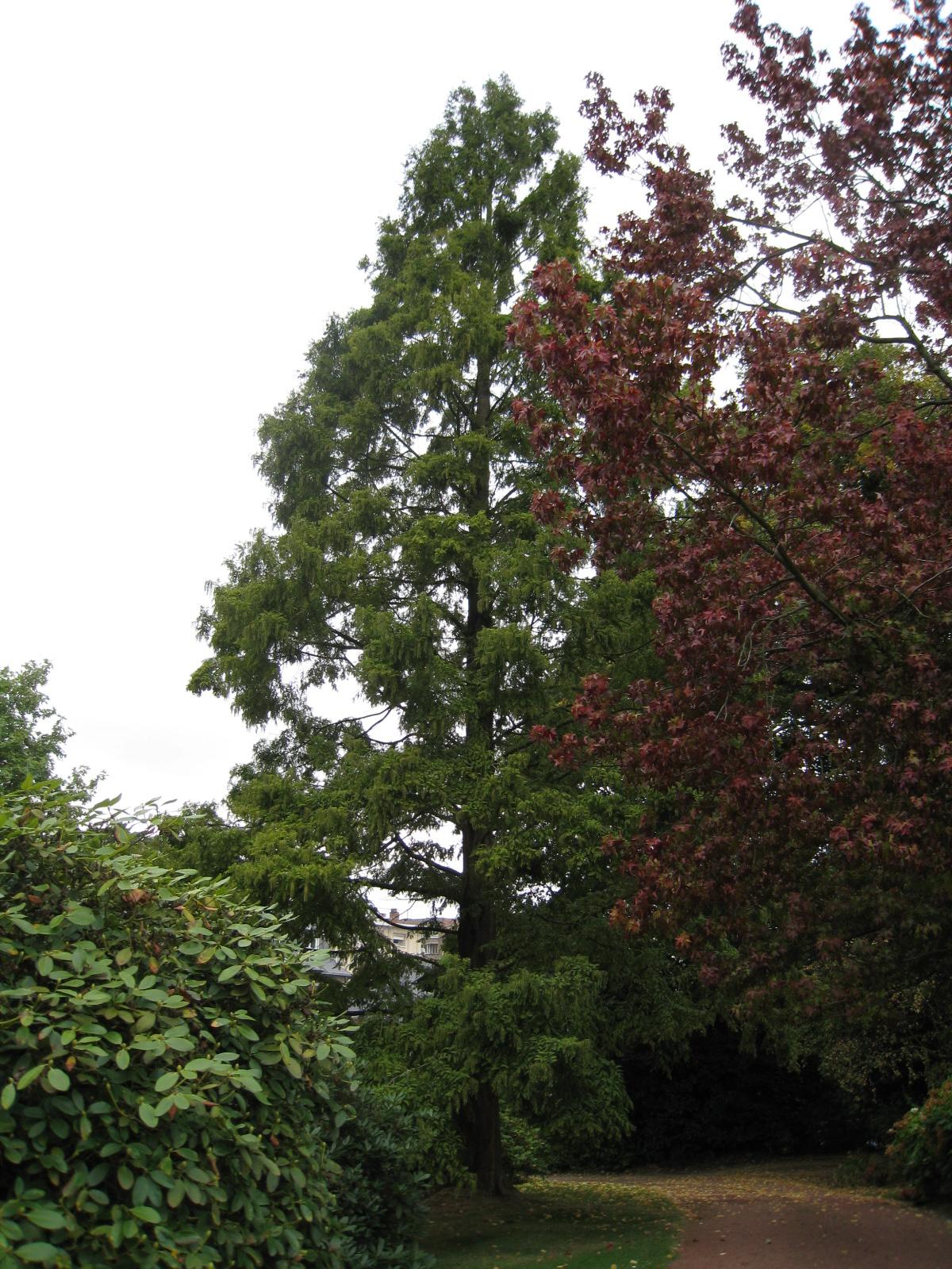 Métaséquoia – Ixelles, Avenue du Derby, 12 –  10 Octobre 2009
