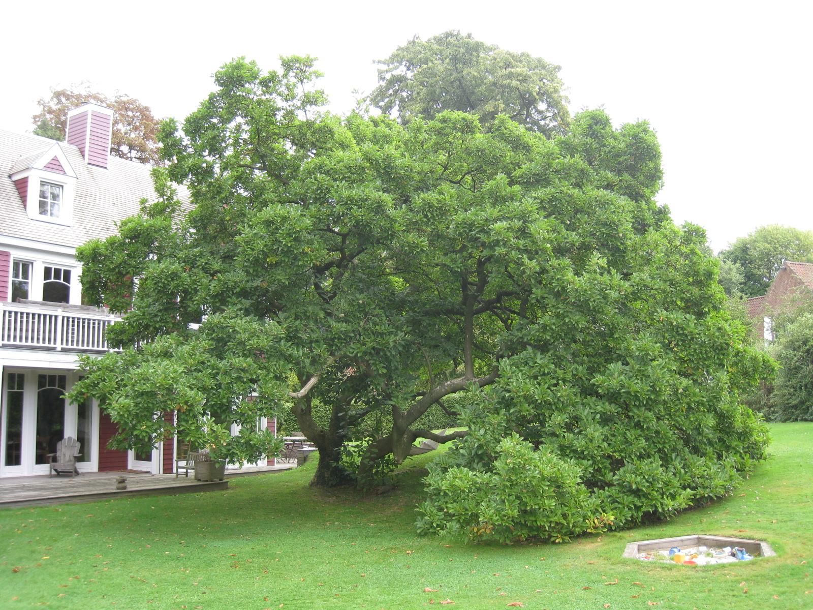 Magnolier de Soulange – Ixelles, Avenue du Derby, 12a –  10 Septembre 2009