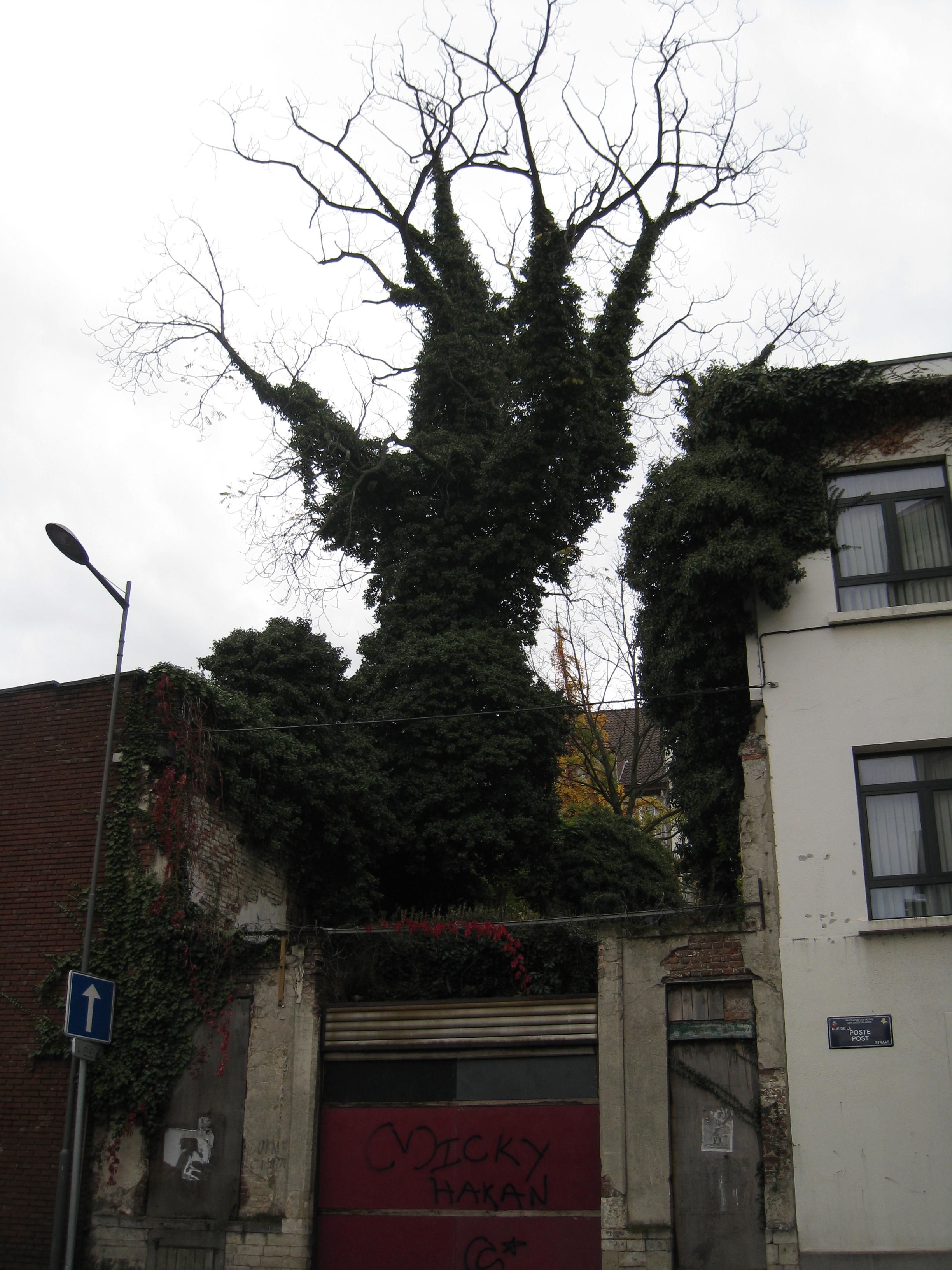 Noyer noir – Saint-Josse-Ten-Noode, Rue Royale, 308 –  06 Novembre 2009