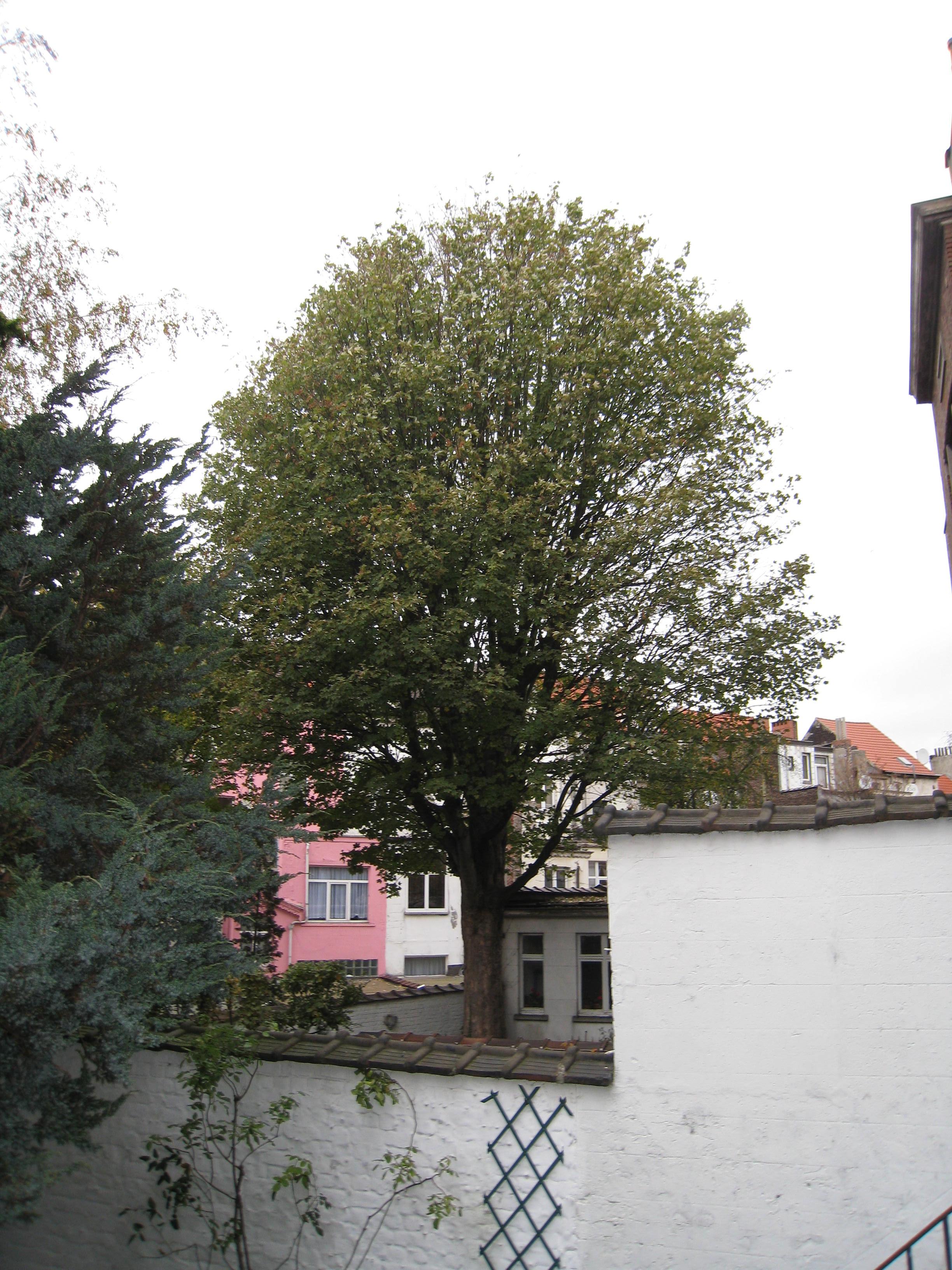 Erable sycomore – Schaerbeek, Rue Renkin, 76 –  06 Novembre 2009