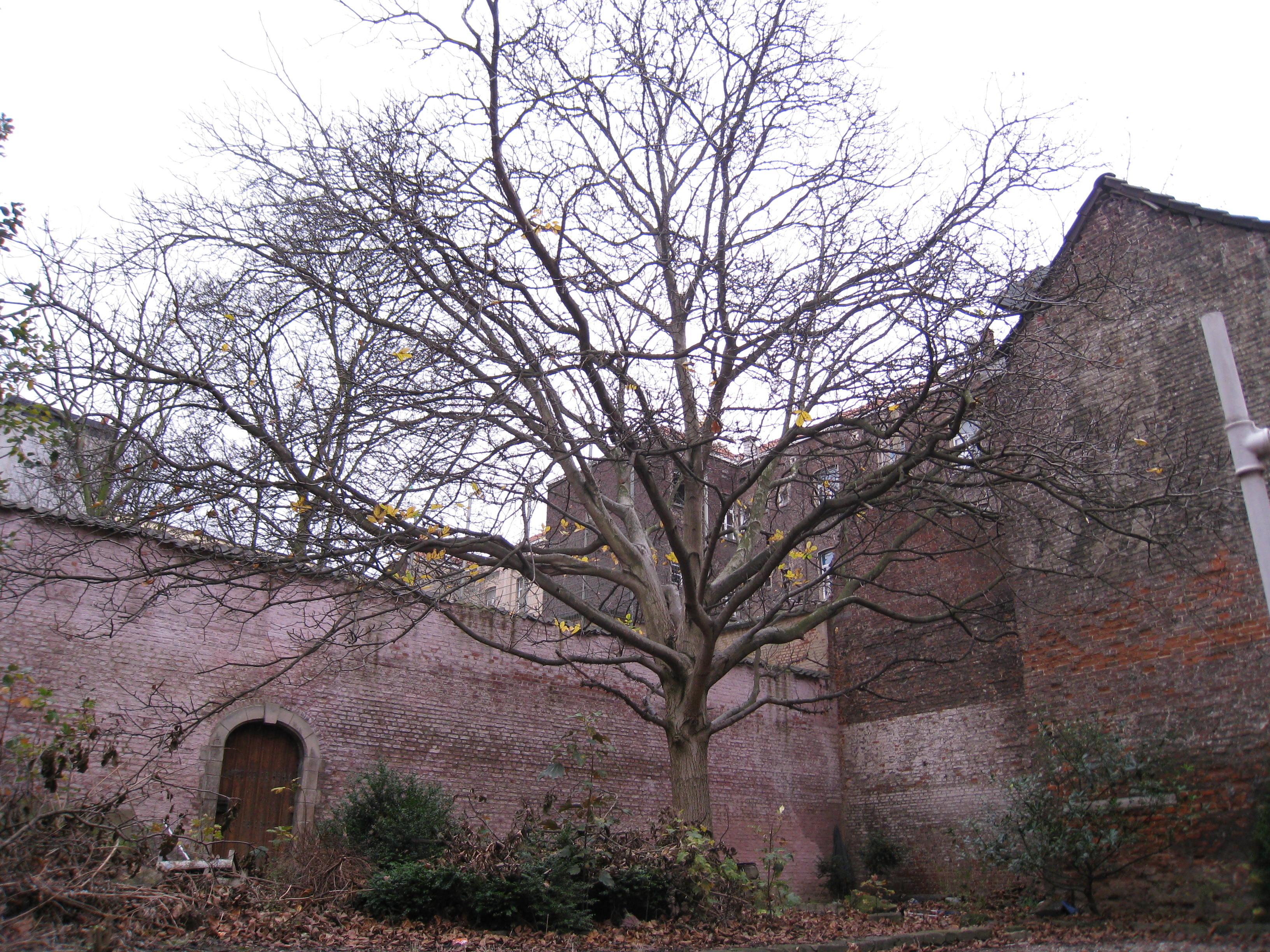 Noyer royal – Bruxelles, Rue Haute, 132 –  25 Novembre 2009