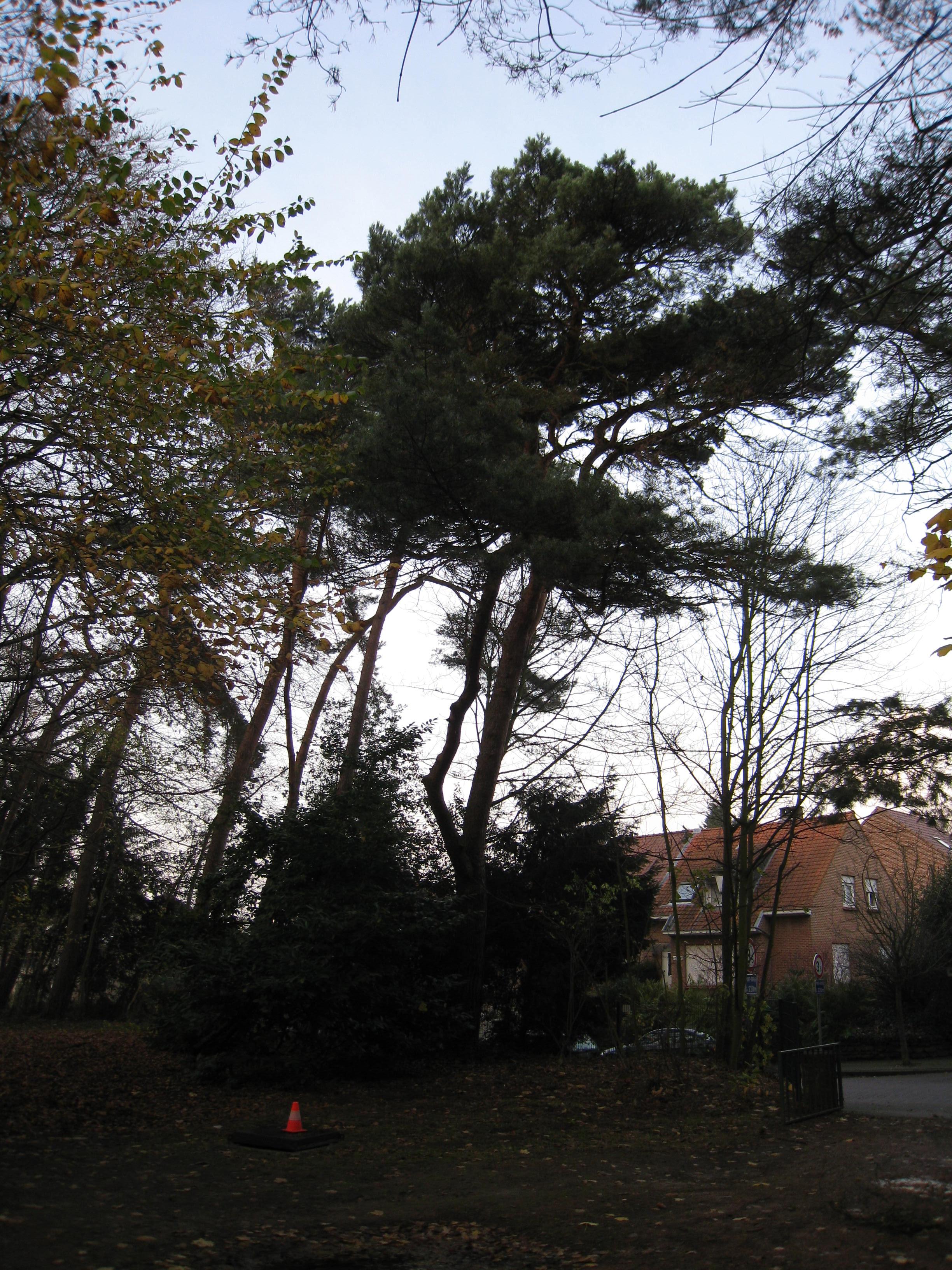 Pin sylvestre – Woluwé-Saint-Lambert, Moulin de Lindekemaele et abords, Avenue Jean-François Debecker, 38-40 –  01 Décembre 2009