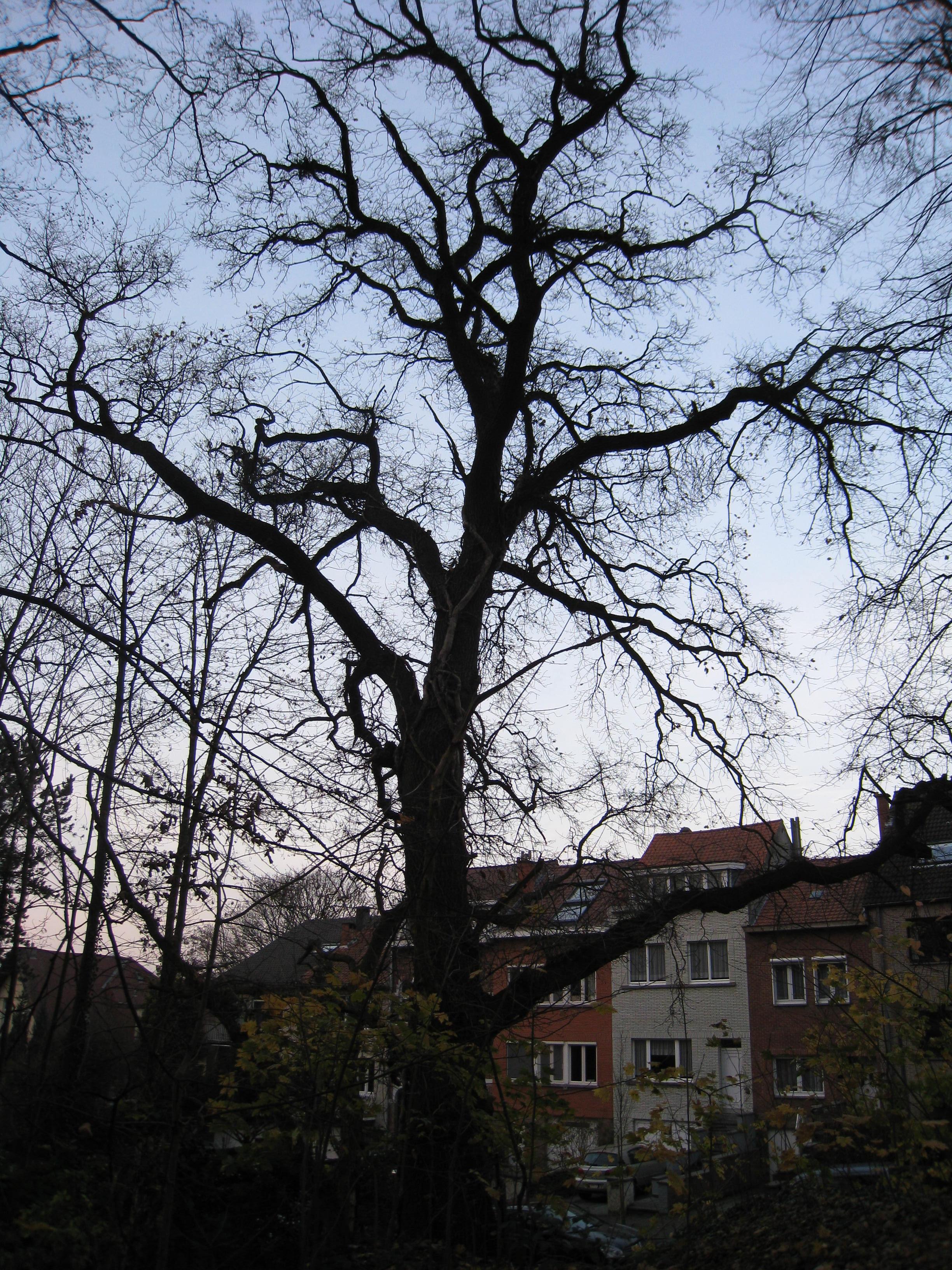 Zomereik – St.- Lambrechts - Woluwe, Lindekmalemolen en omgevingen, Jean-François Debeckerlaan –  01 December 2009