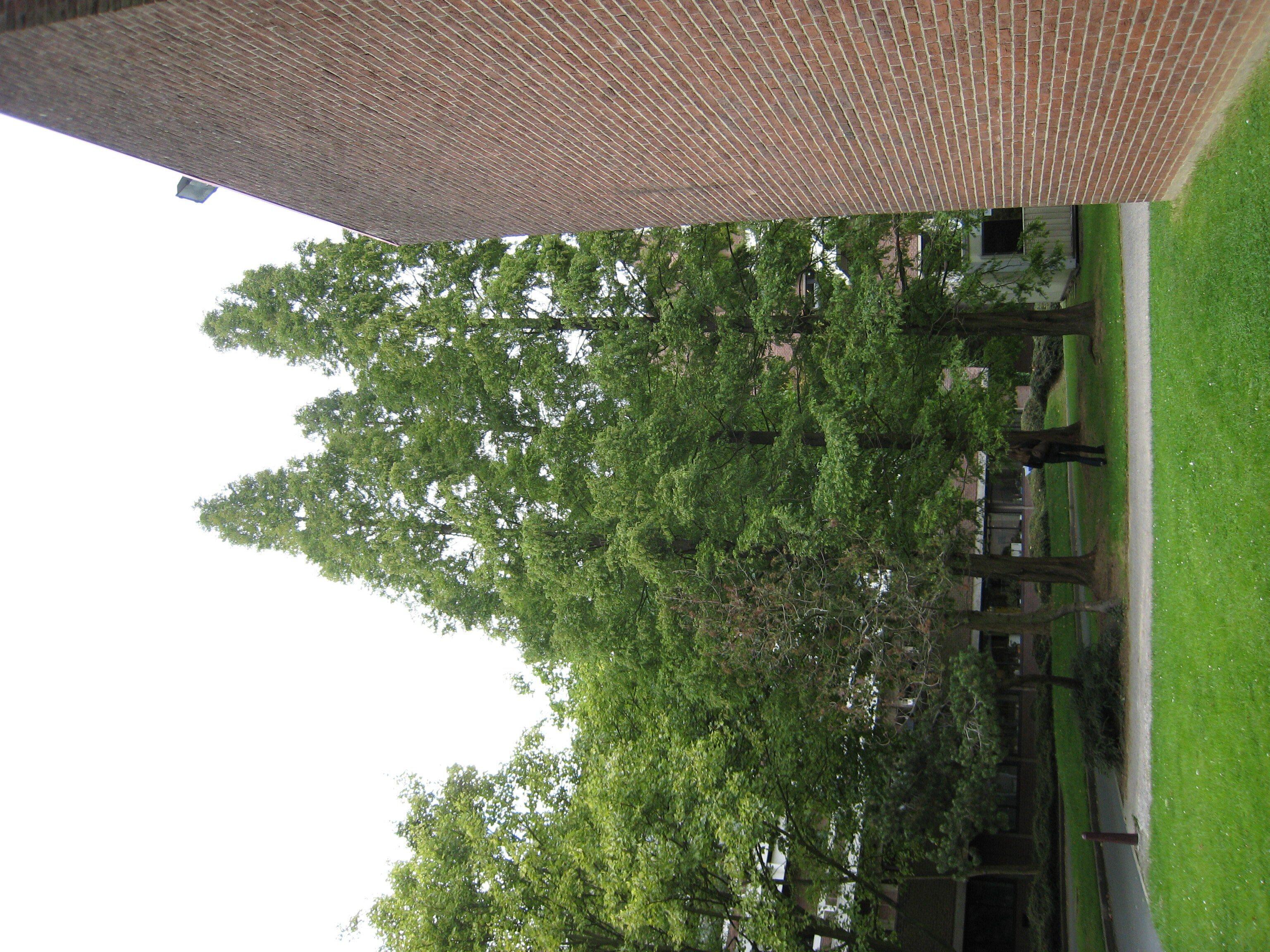 Métaséquoia – Ixelles, Campus de la Plaine, Boulevard du Triomphe –  12 Septembre 2007