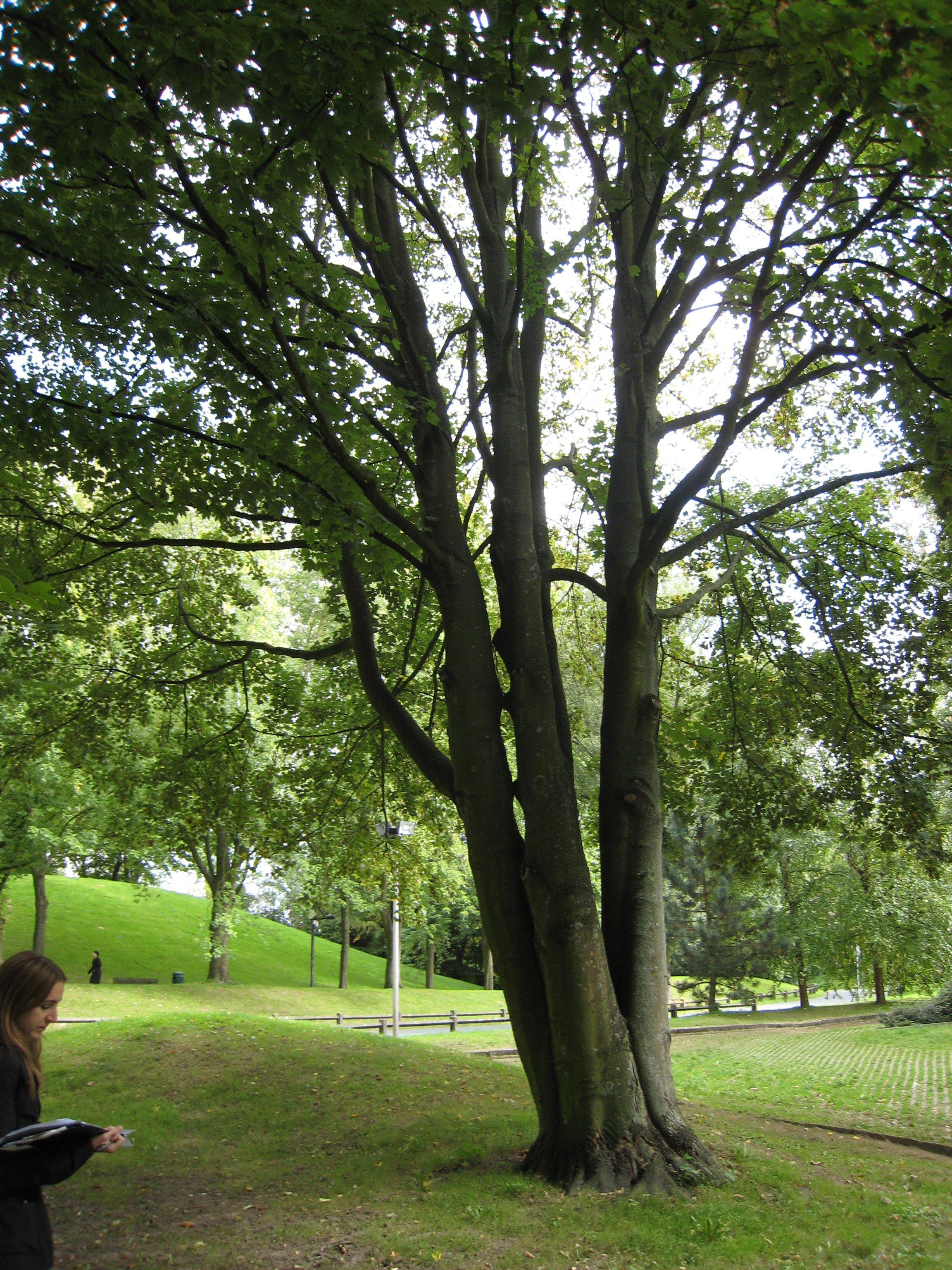 Erable sycomore – Ixelles, Campus de la Plaine, Boulevard du Triomphe –  12 Septembre 2007