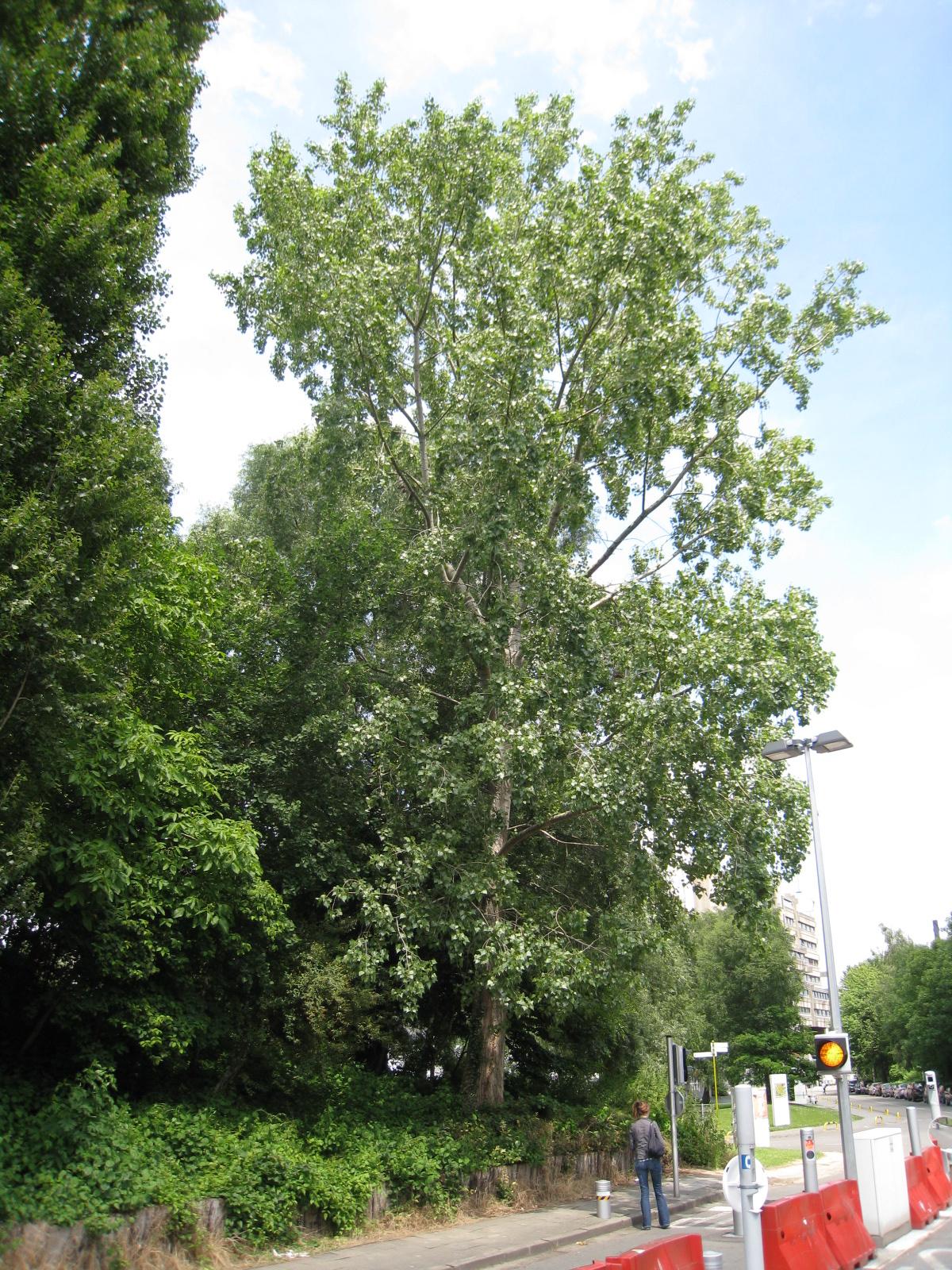 Peuplier du Canada – Ixelles, Campus de la Plaine, Boulevard de la Plaine –  17 Juin 2009