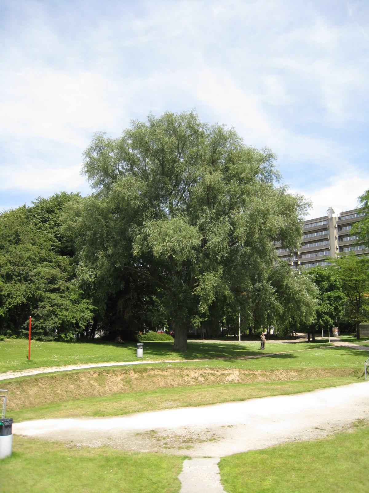 Saule blanc – Ixelles, Campus de la Plaine, Boulevard de la Plaine –  17 Juin 2009