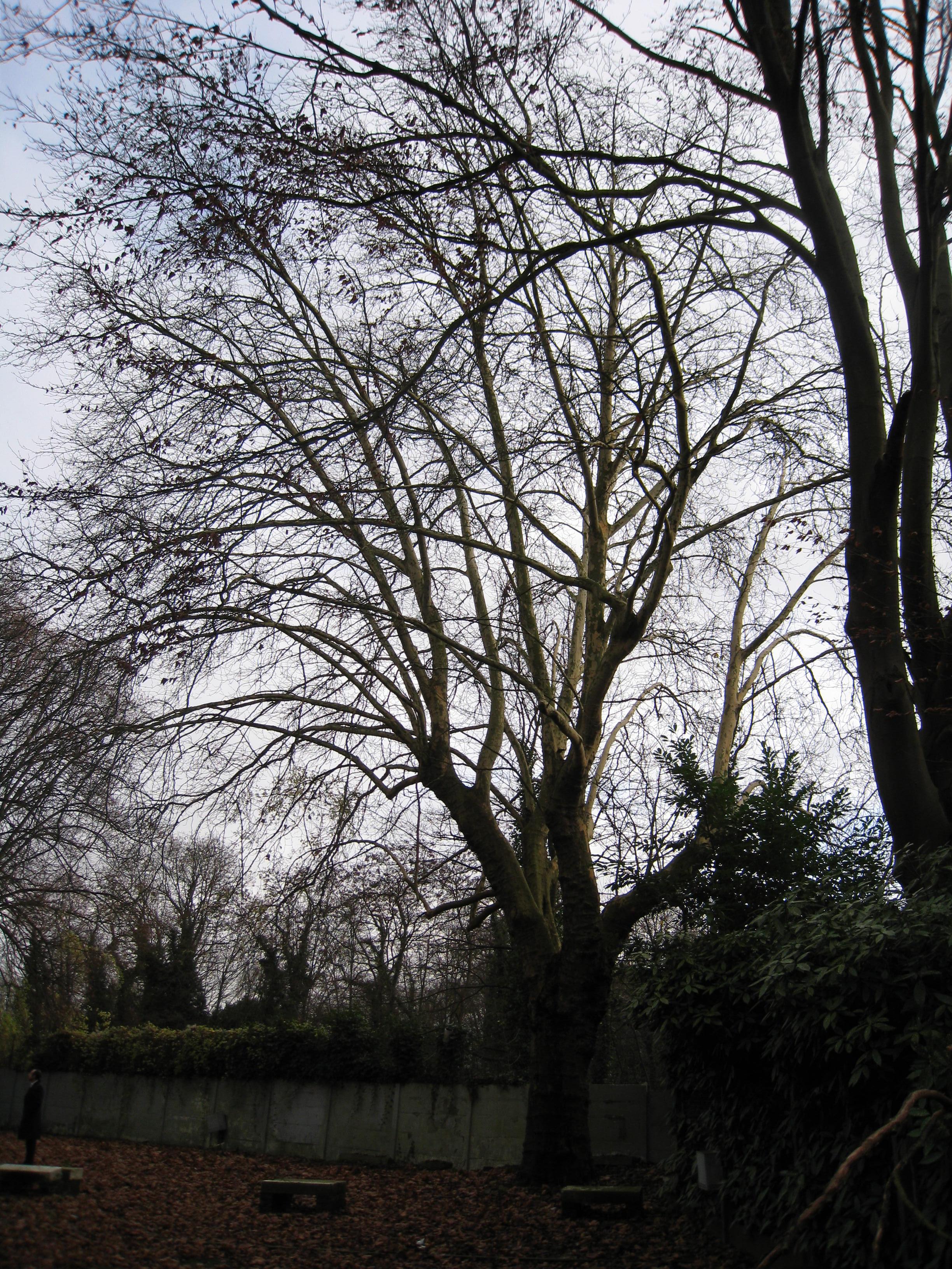 Platane à feuille d'érable – Ixelles, Chaussée de Boitsfort, 40 –  08 Décembre 2009
