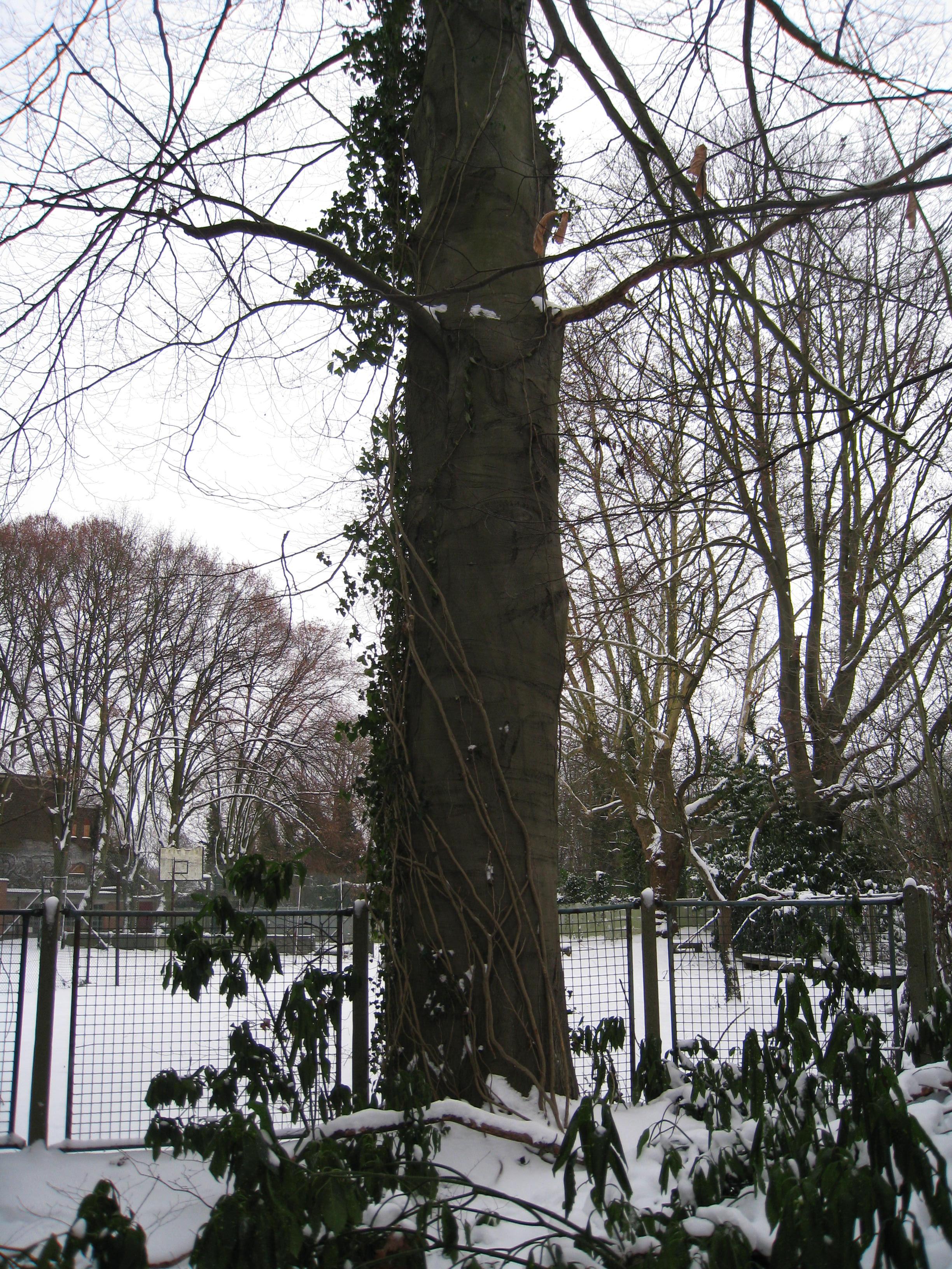 Hêtre pourpre – Ixelles, Chaussée de Boitsfort, 40 –  21 Décembre 2009