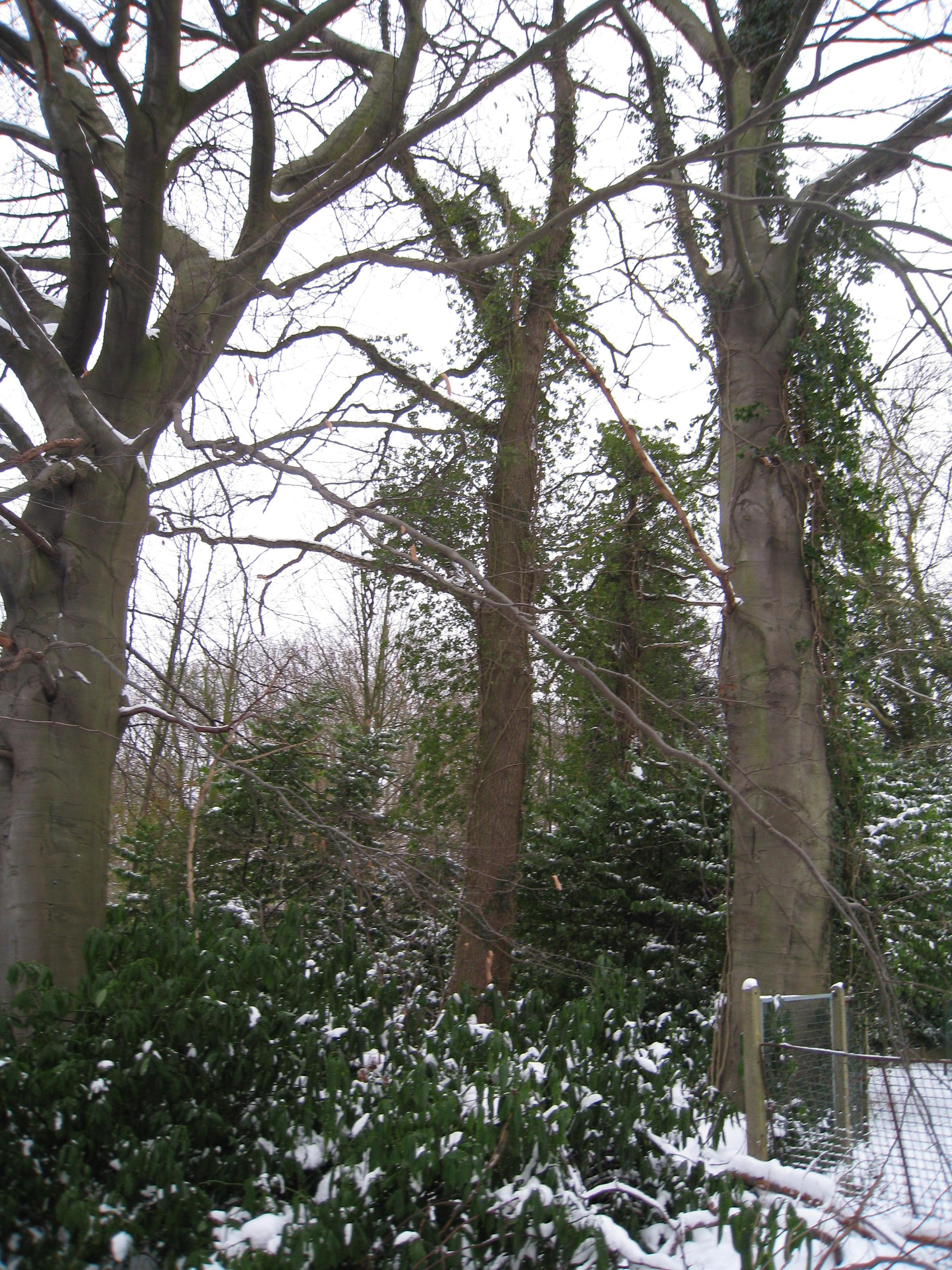 Chêne pédonculé – Ixelles, Chaussée de Boitsfort, 40 –  21 Décembre 2009