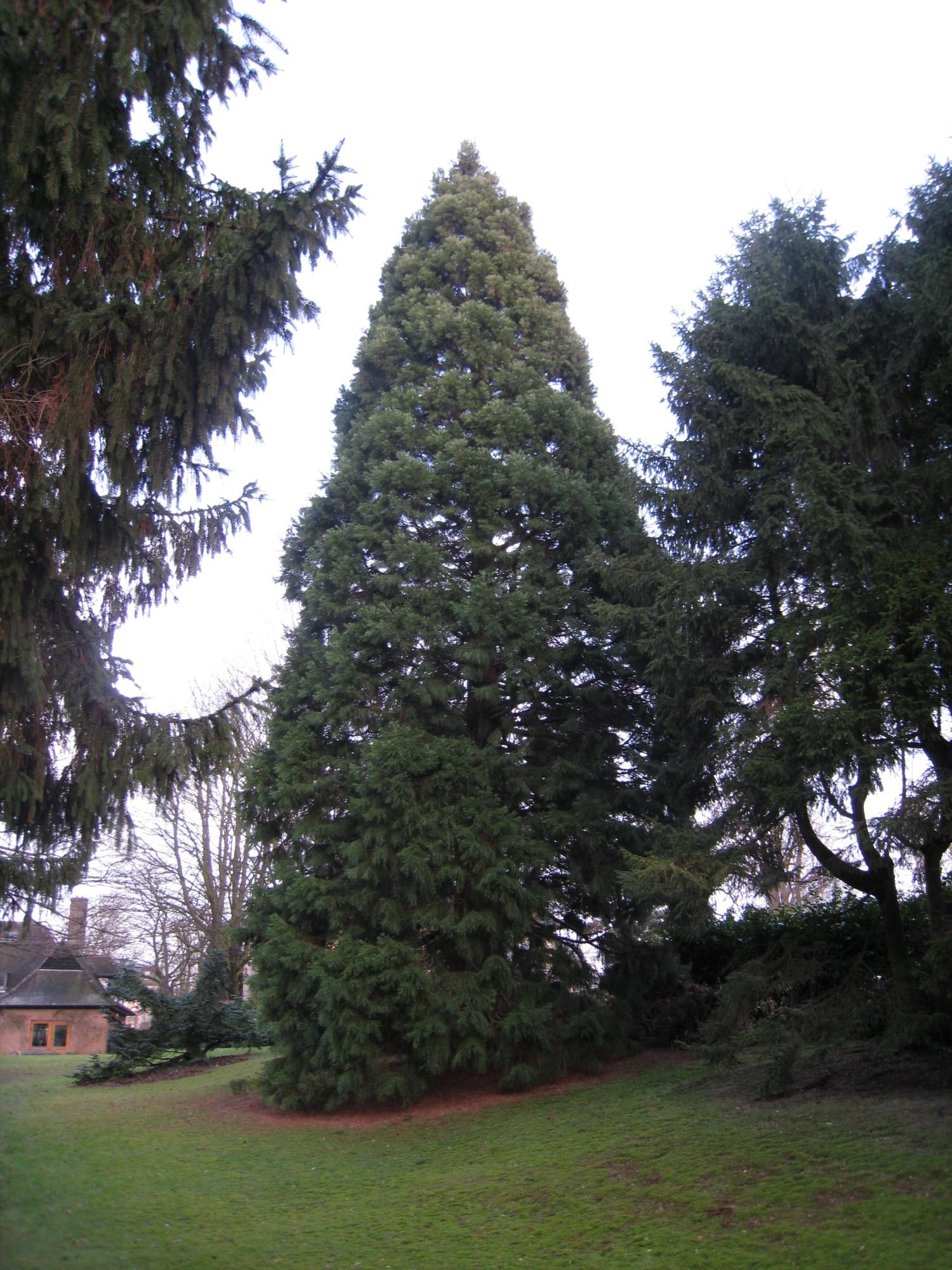 Sequoia géant – Uccle, Avenue Léo Errera, 55-57 –  05 Février 2010