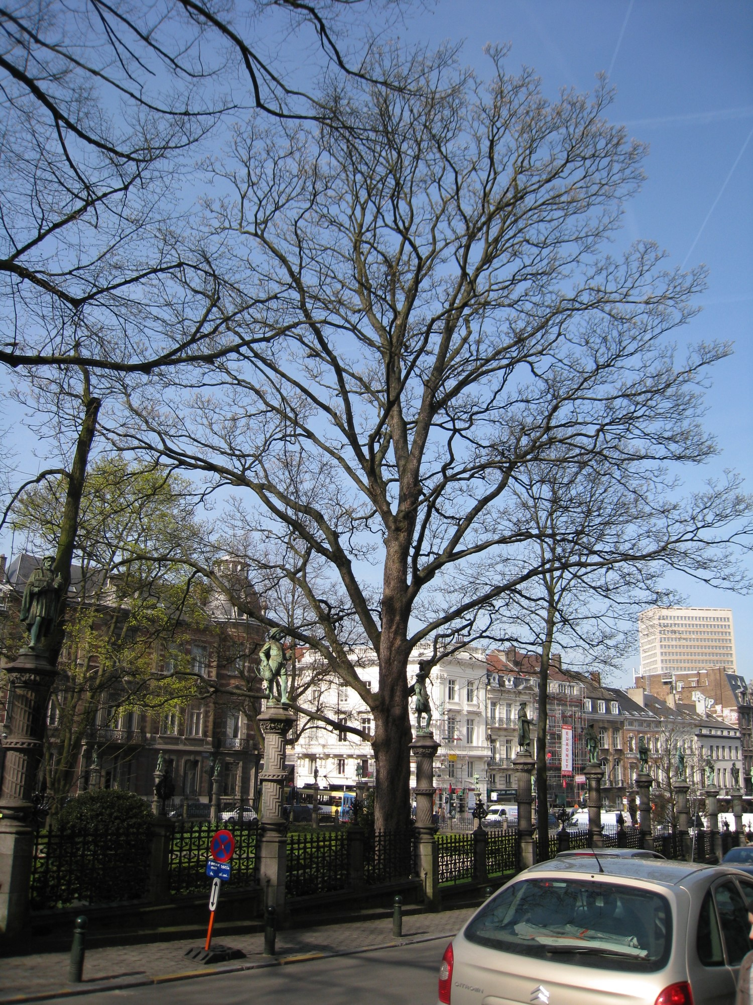 Gewone esdoorn – Brussel, Plantsoen van de Kleine Zavel, Kleine Zavel –  09 April 2010