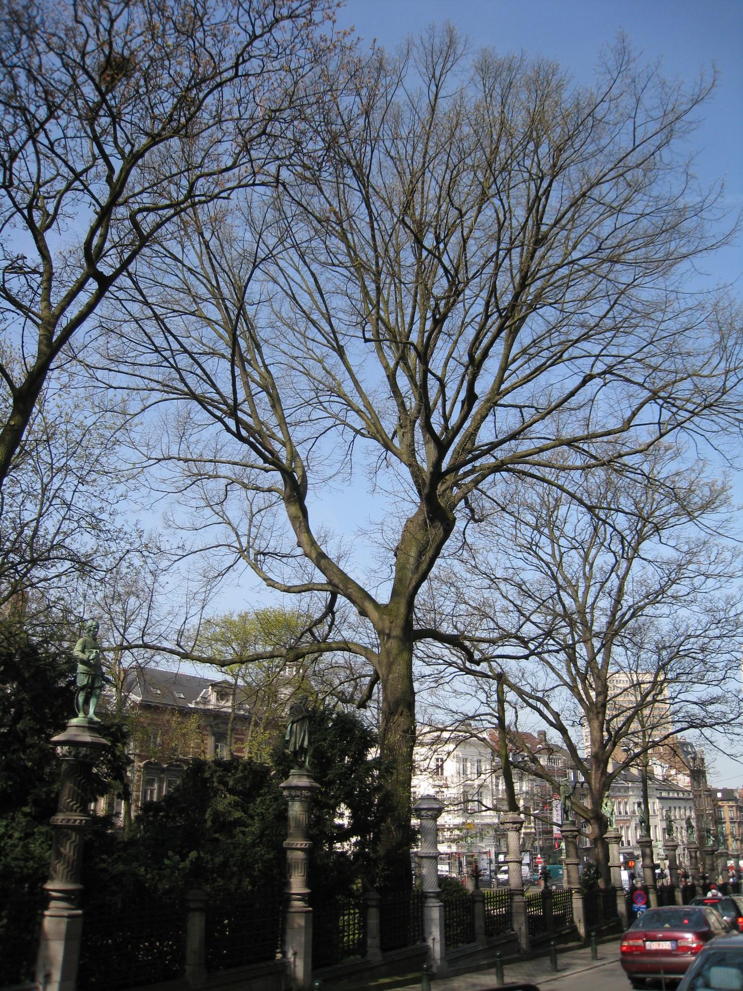 Tilleul argenté – Bruxelles, Square du Petit Sablon , Place du Petit Sablon –  09 Avril 2010