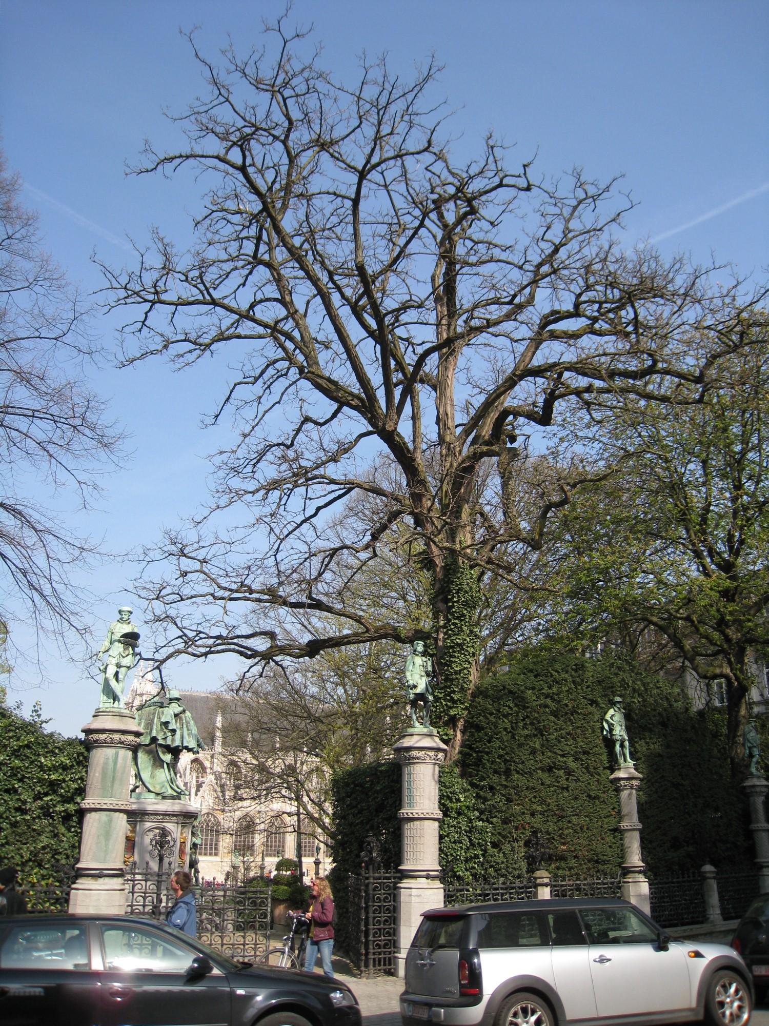 Robinier faux-acacia – Bruxelles, Square du Petit Sablon , Place du Petit Sablon –  09 Avril 2010