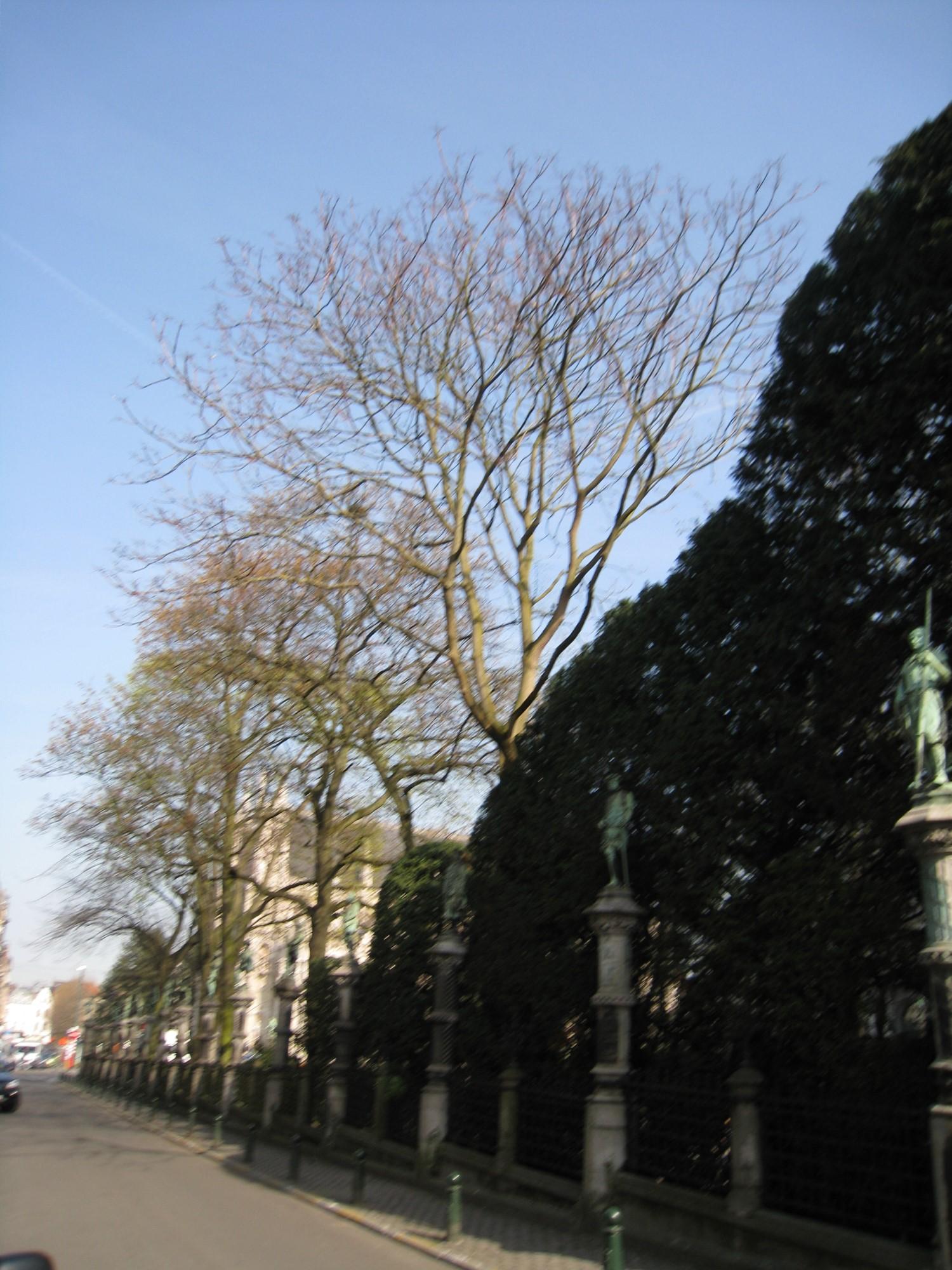 Ailante glanduleux – Bruxelles, Square du Petit Sablon , Place du Petit Sablon –  09 Avril 2010