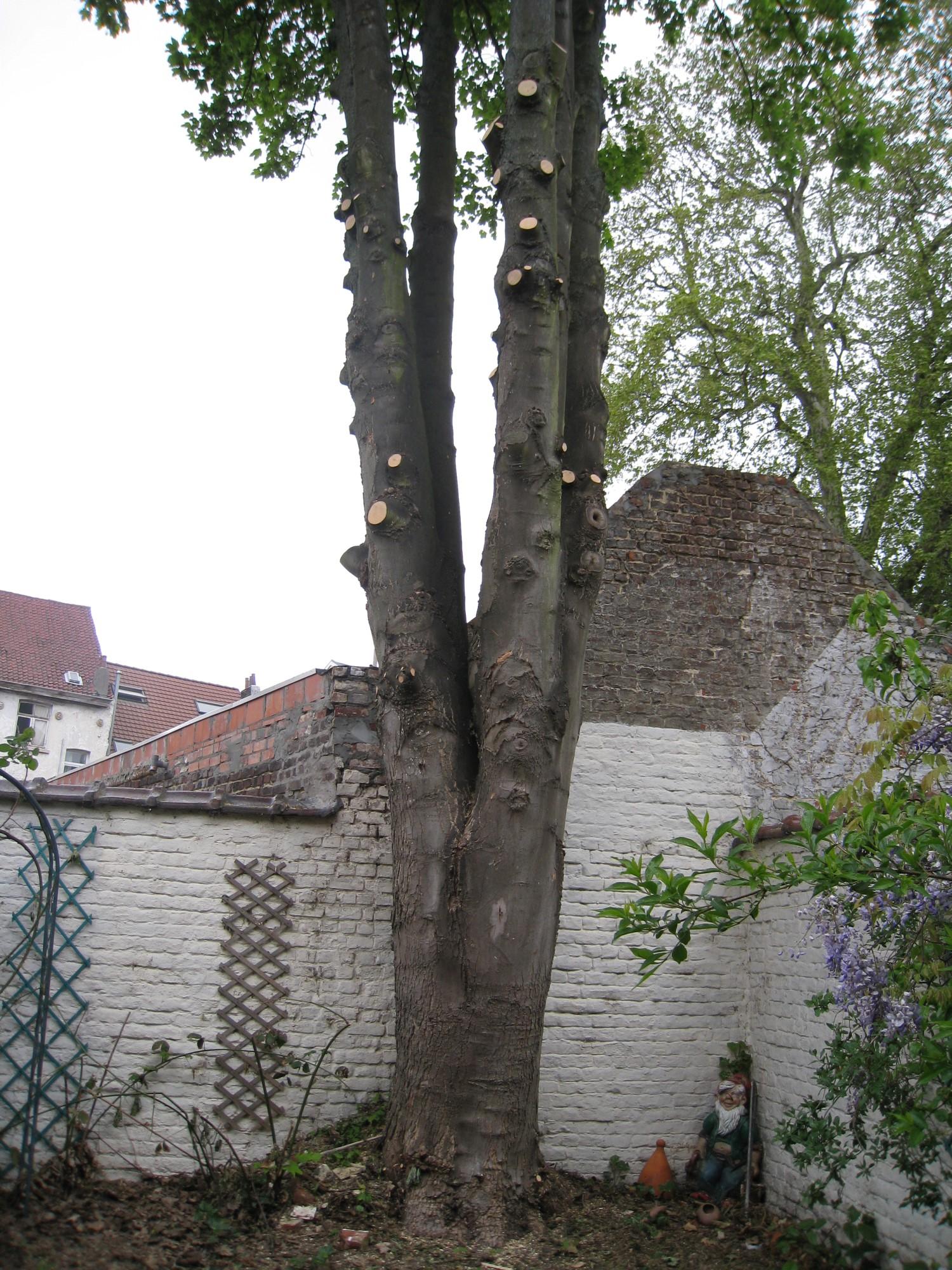 Erable sycomore – Schaerbeek, Rue Vandermeersch, 50 –  07 Mai 2010