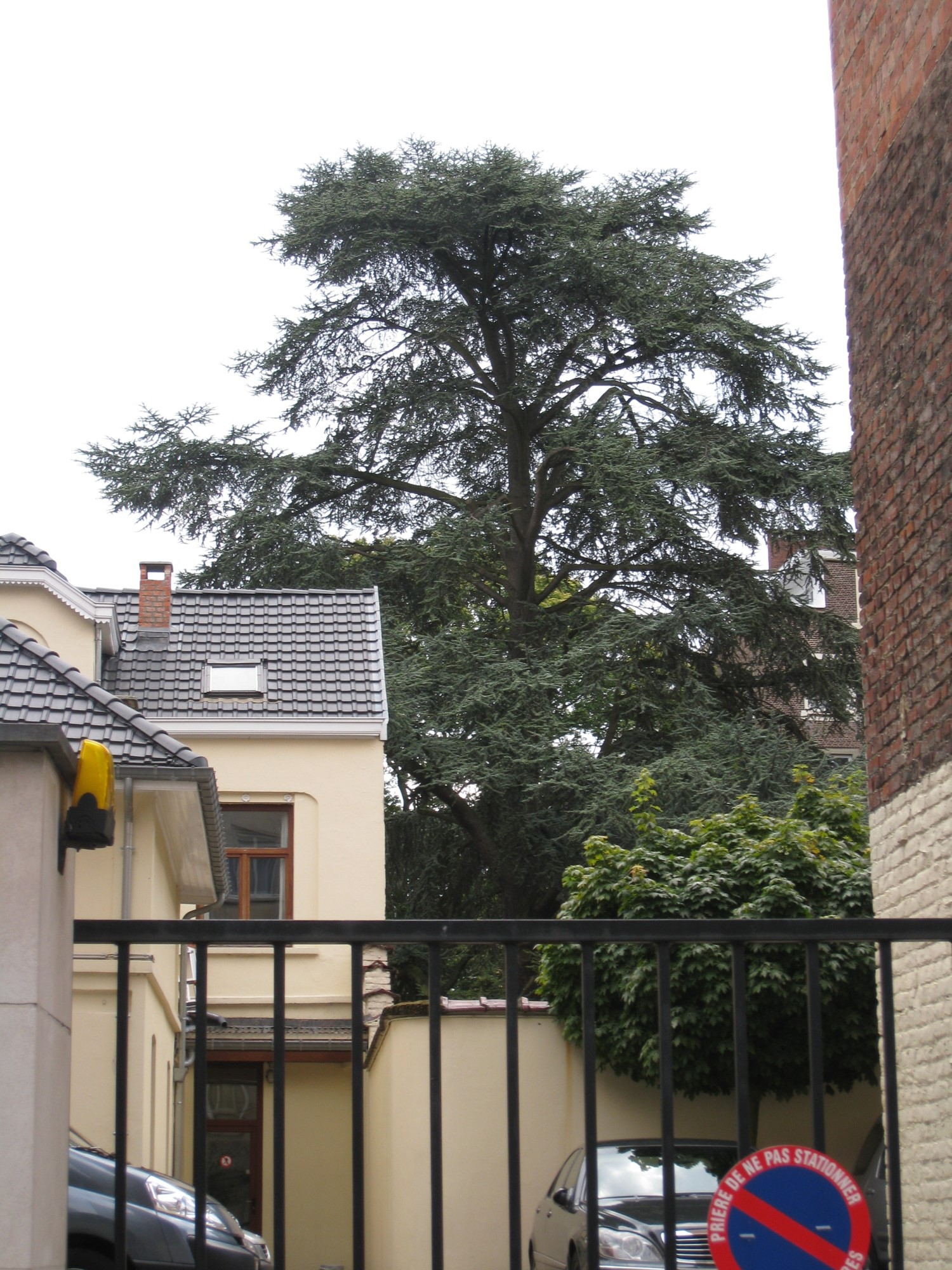 Cèdre bleu de l'Atlas – Uccle, Avenue Winston Churchill, 214 –  05 Août 2010