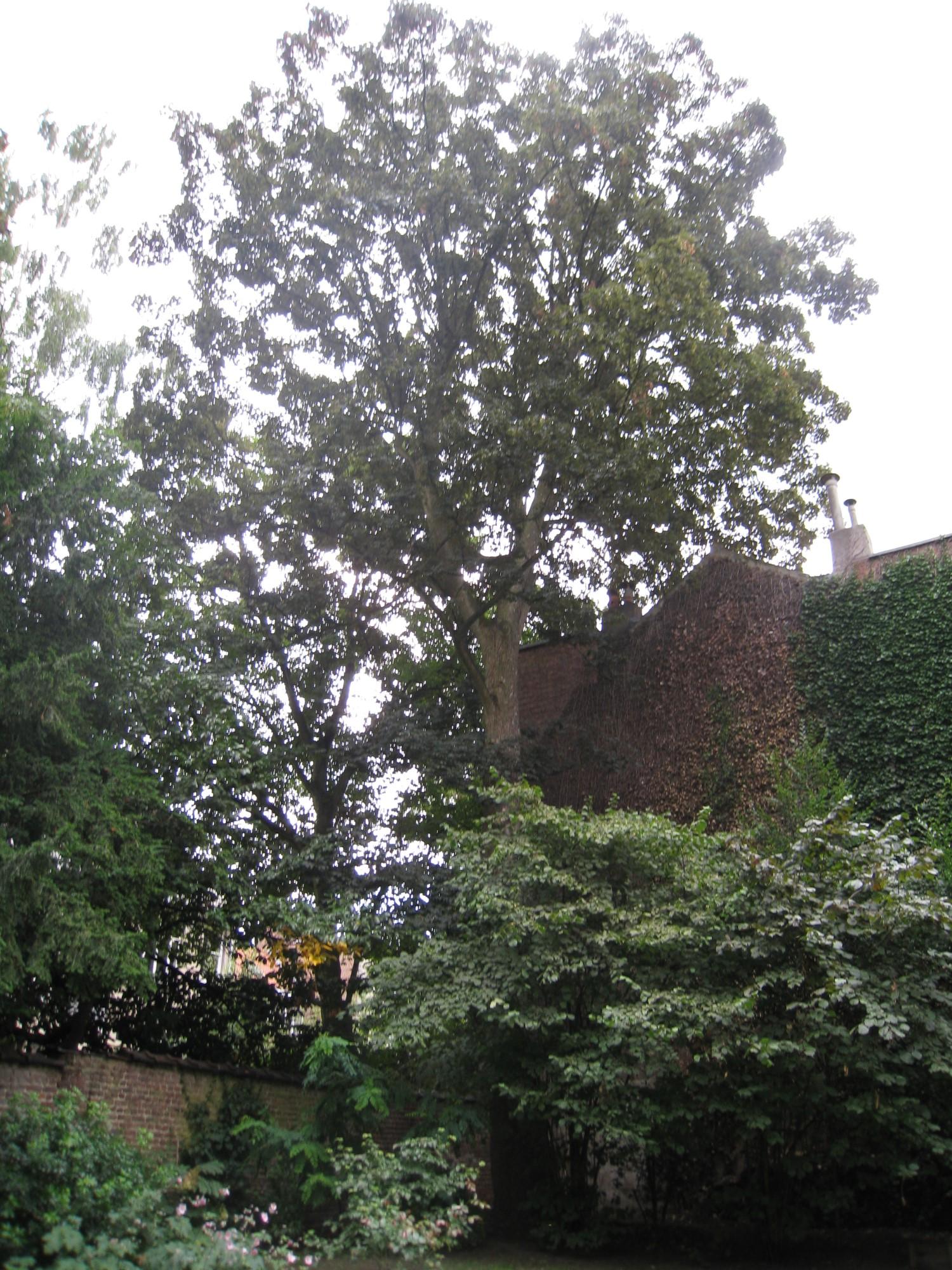 Erable sycomore – Uccle, Rue Dodonée, 82 –  05 Août 2010