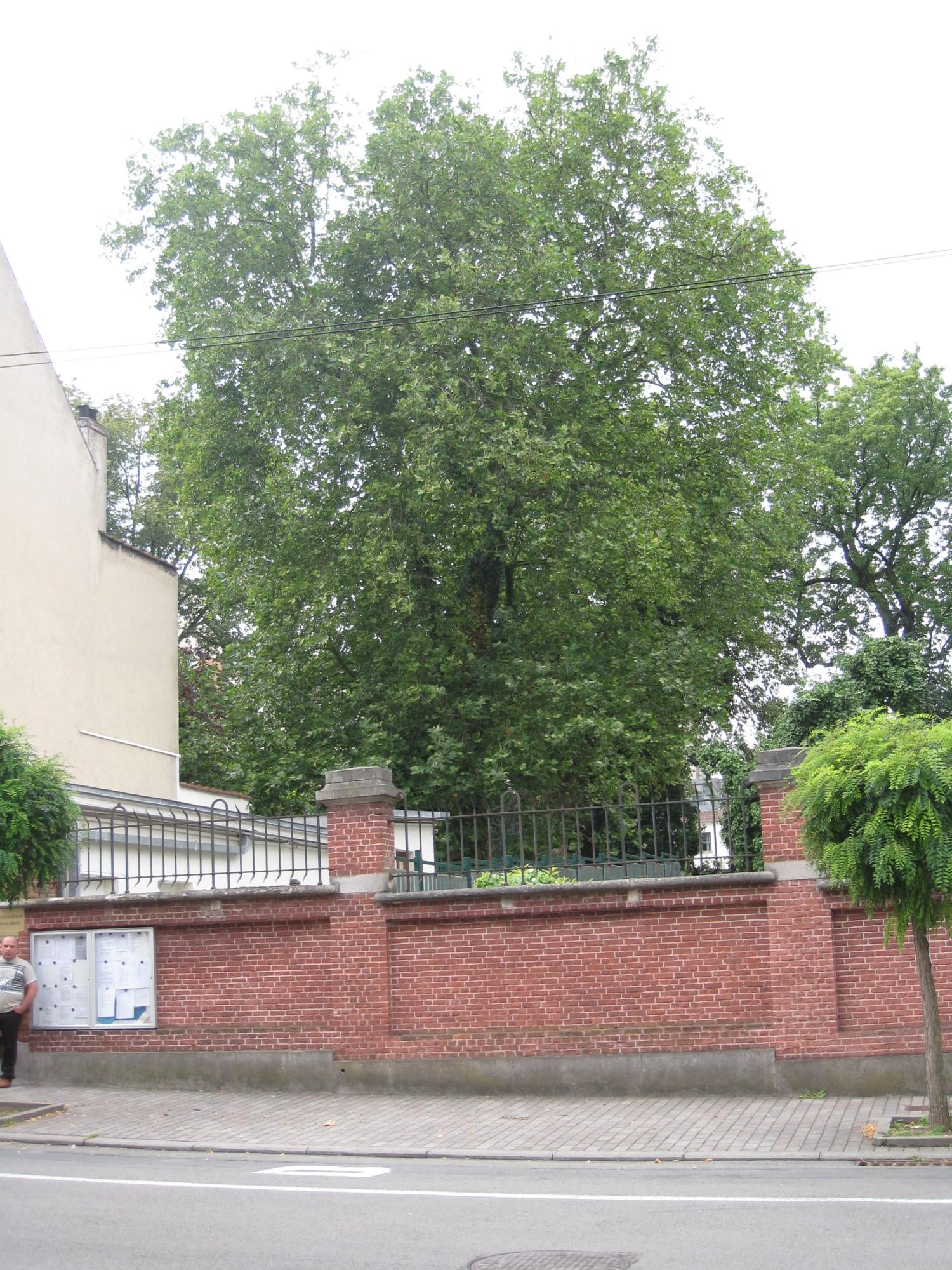 Platane à feuille d'érable – Uccle, Rue Gabrielle, 109 –  05 Août 2010