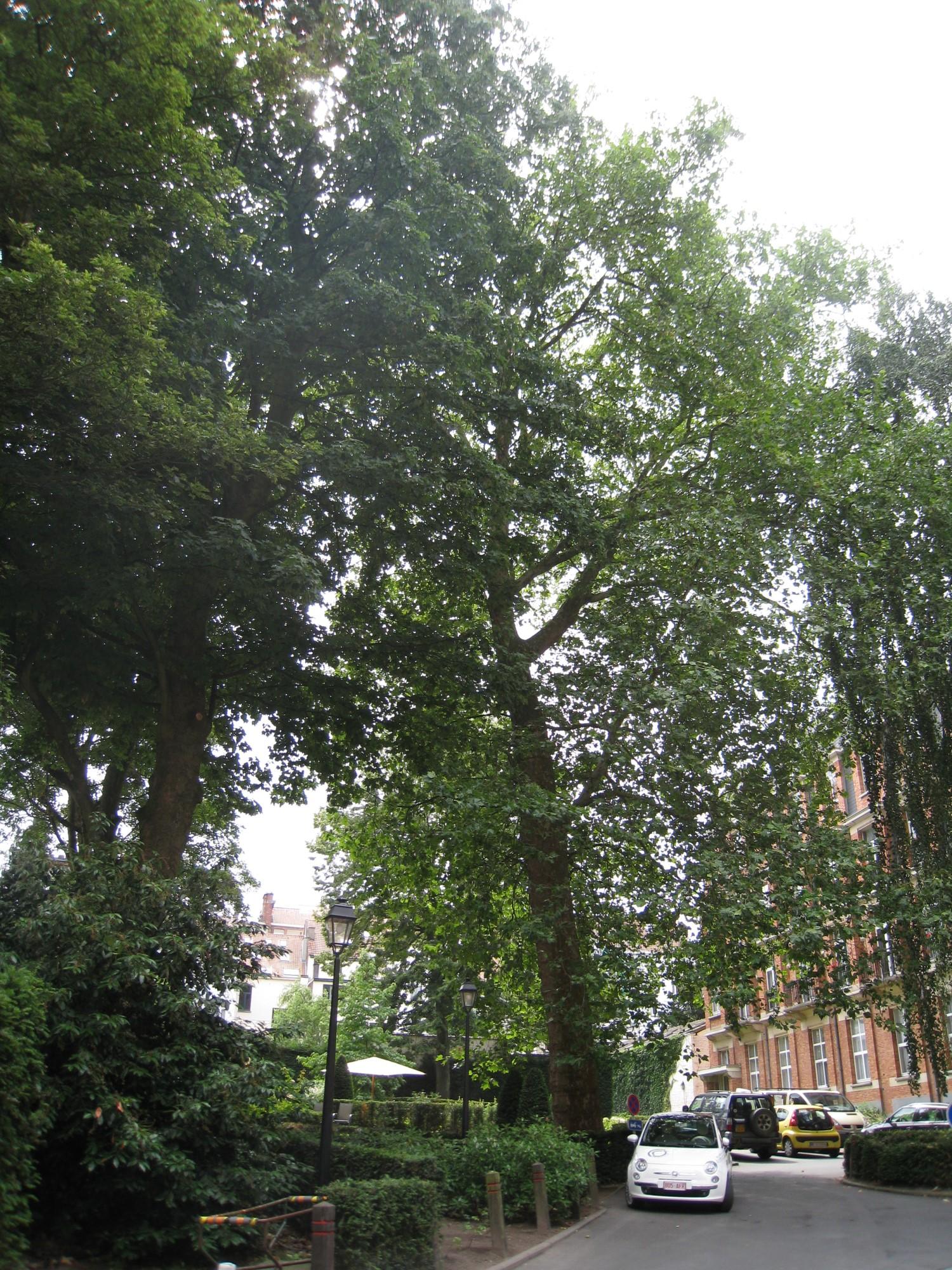 Platane à feuille d'érable – Uccle, Avenue Winston Churchill, 253b –  05 Août 2010