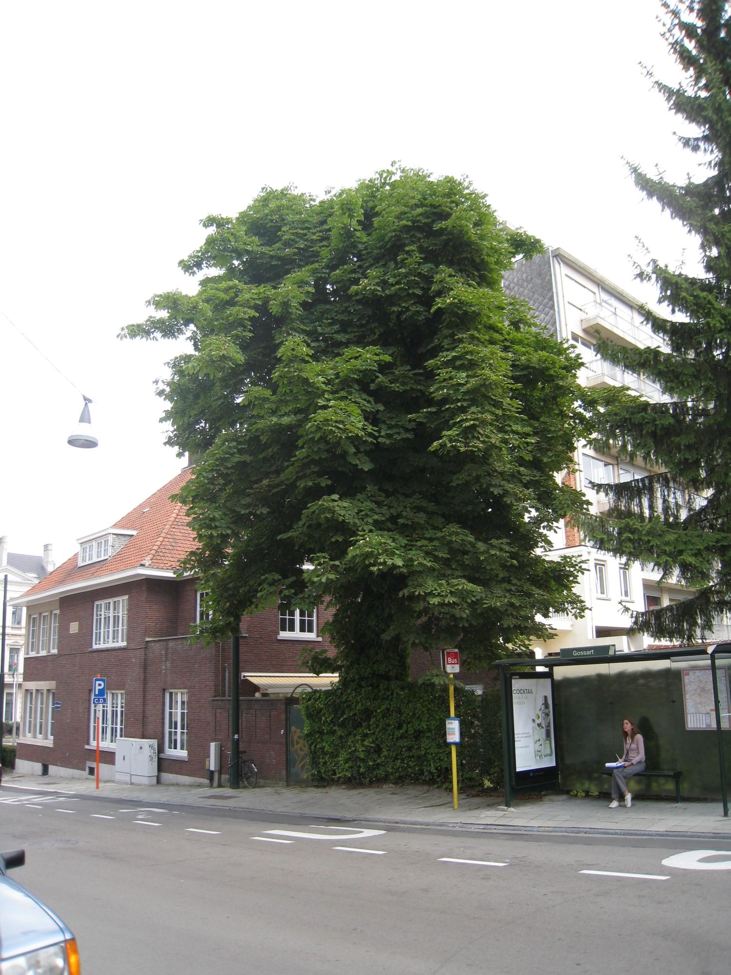 Marronnier commun – Uccle, Avenue Winston Churchill, 185 –  05 Août 2010