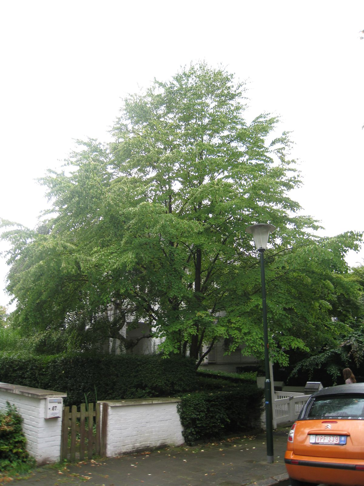 Katsura du Japon – Uccle, Bosveldweg, 65 –  05 Août 2010