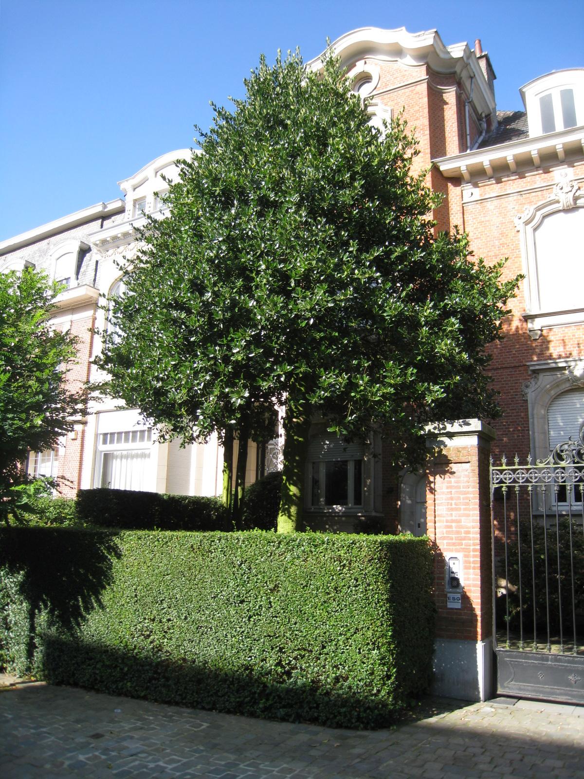 Ilex aquifolium 'Pyramidalis' – Uccle, Avenue Léo Errera, 47 –  20 Août 2010