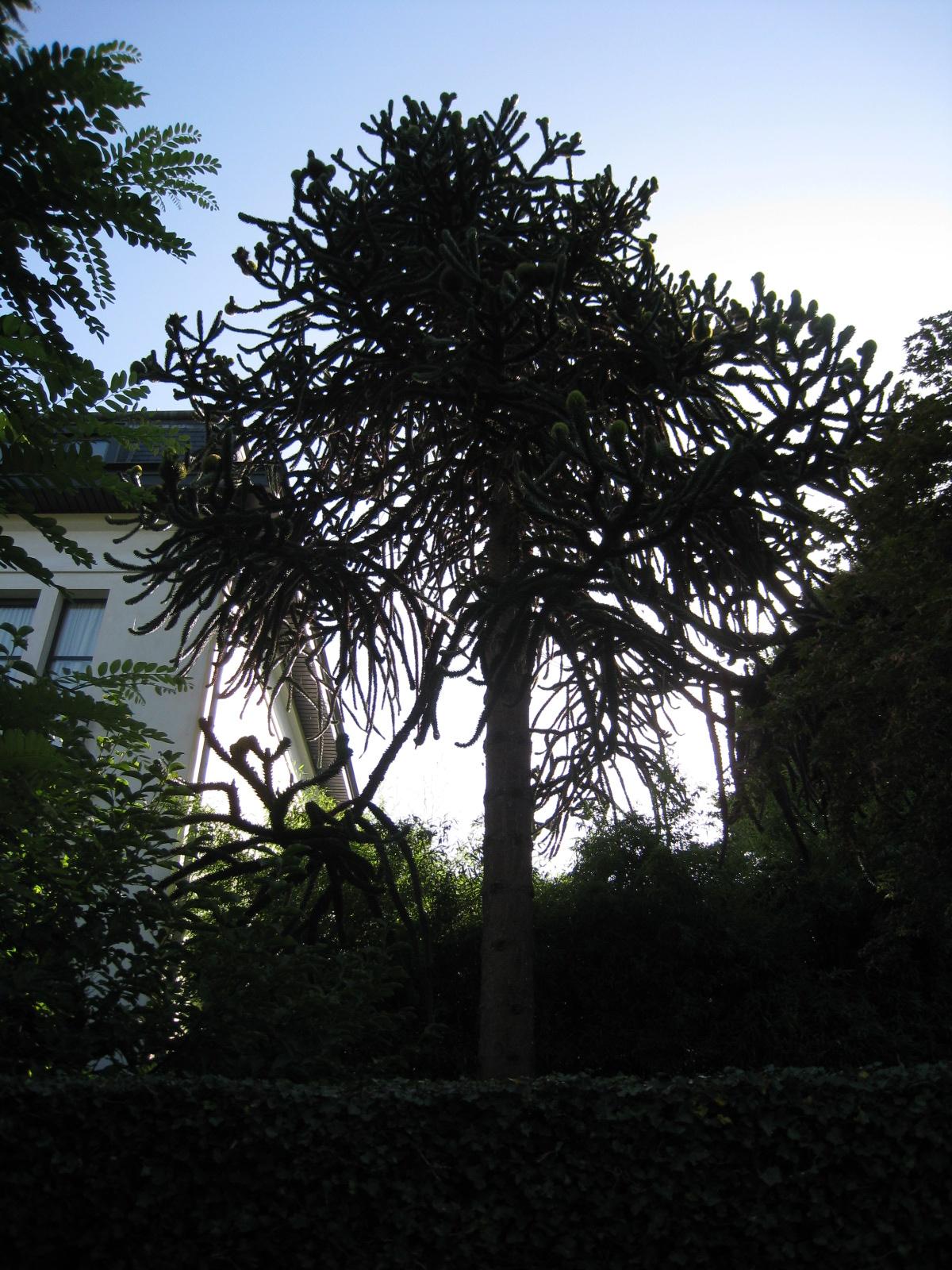 Araucaria du Chili – Uccle, Avenue Léo Errera, 70 –  20 Août 2010