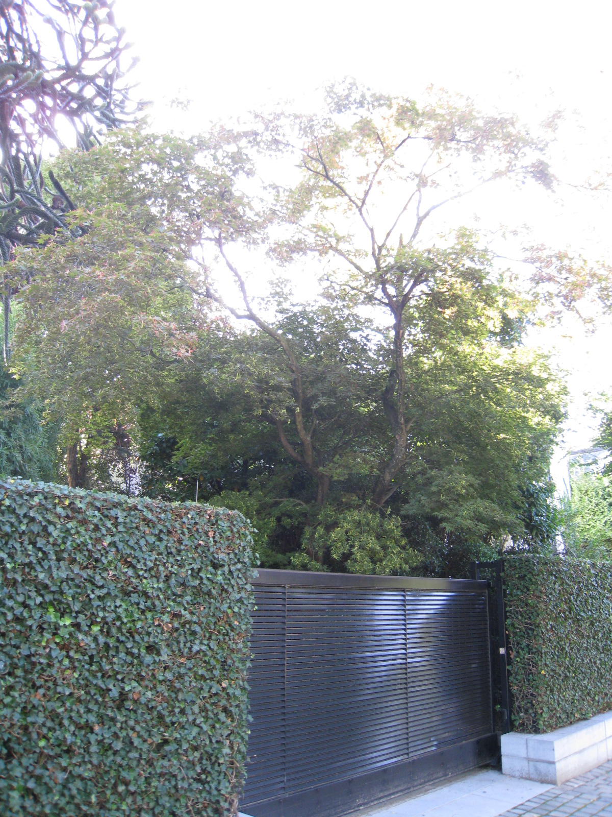 Erable palmé – Uccle, Avenue Léo Errera, 70 –  20 Août 2010