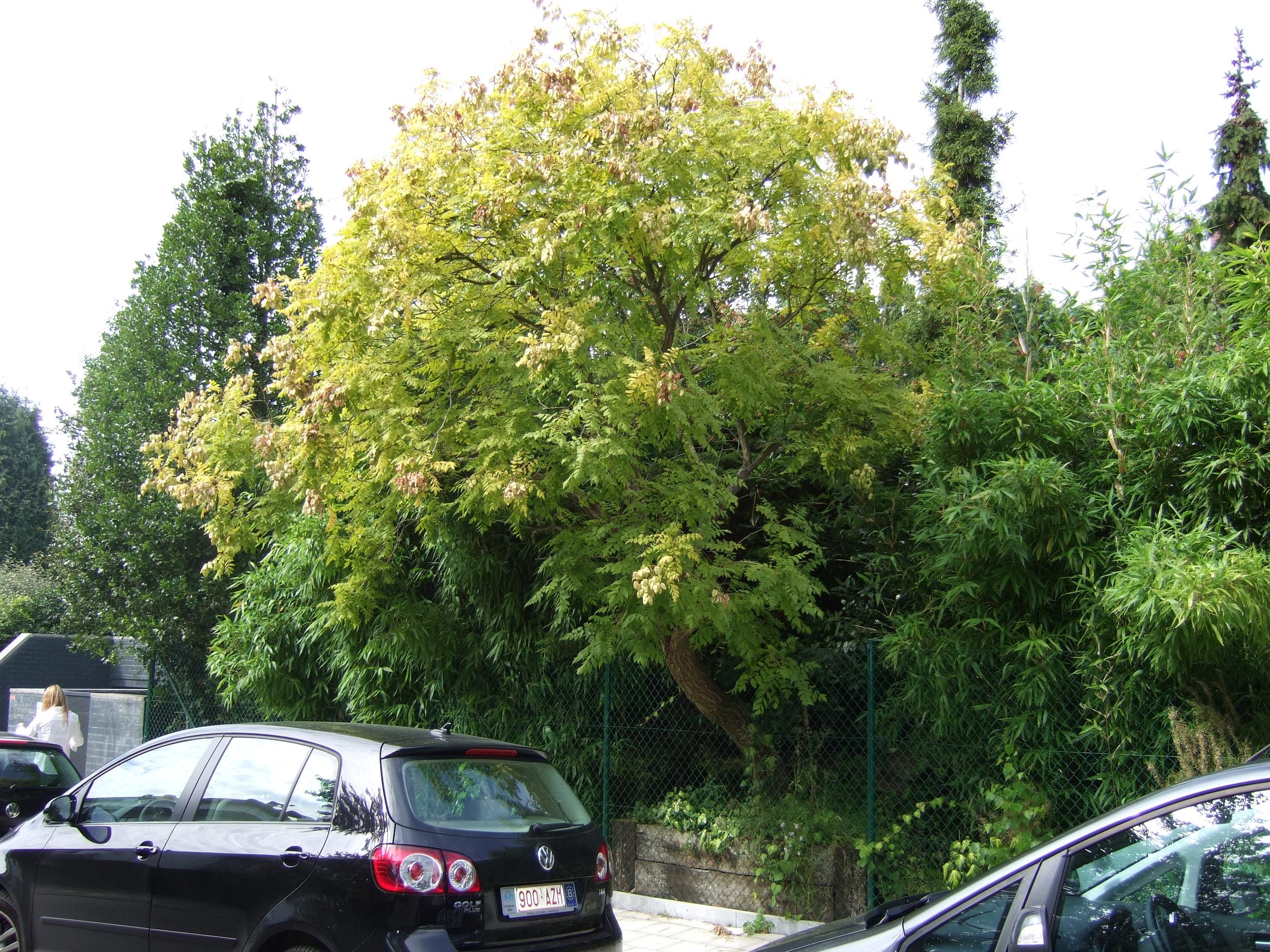 Savonnier de Chine – Uccle, Rue Langeveld, 68 –  02 Septembre 2010