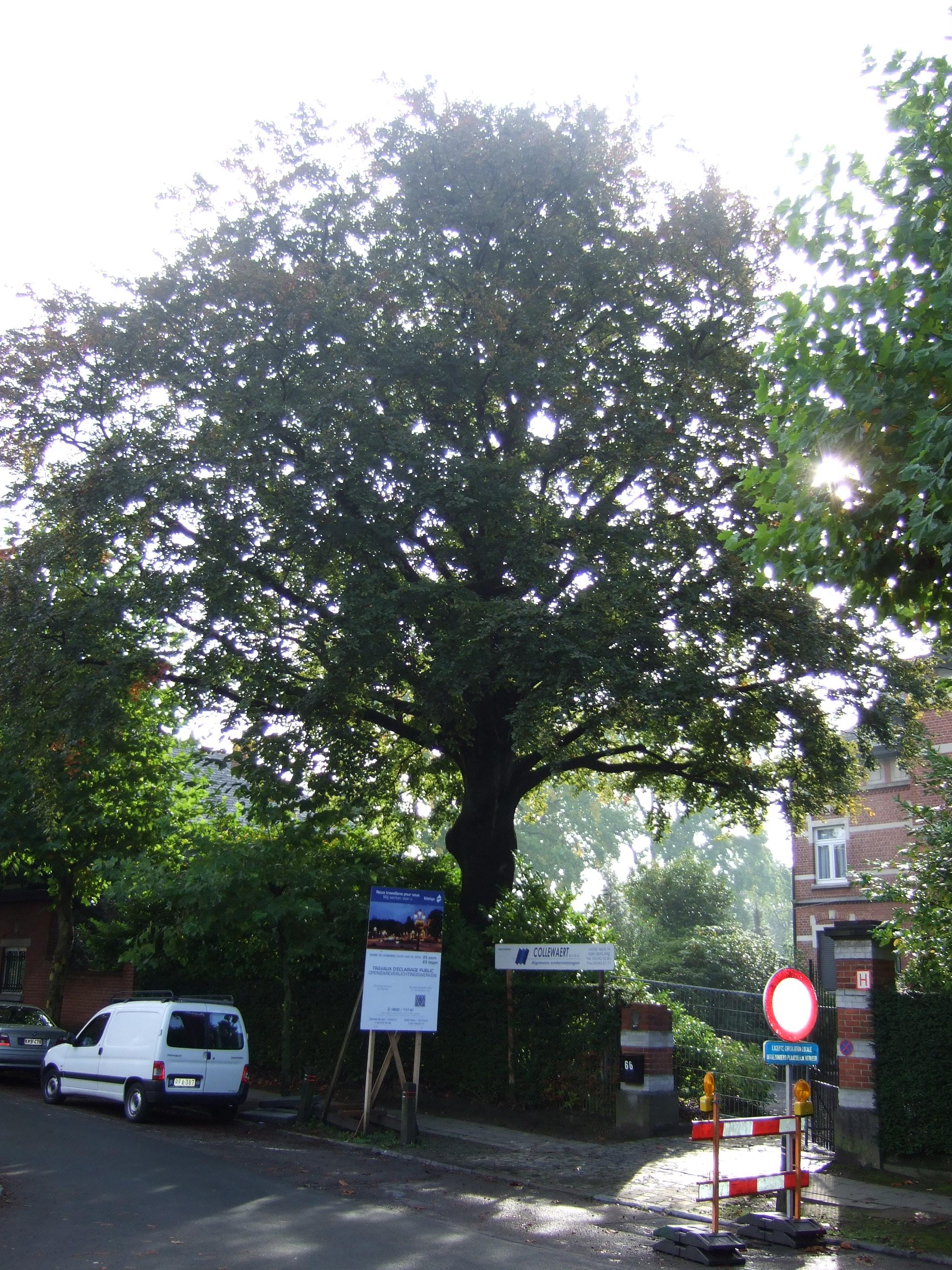 Hêtre pourpre – Uccle, Avenue du Vert Chasseur, 66 –  27 Septembre 2010