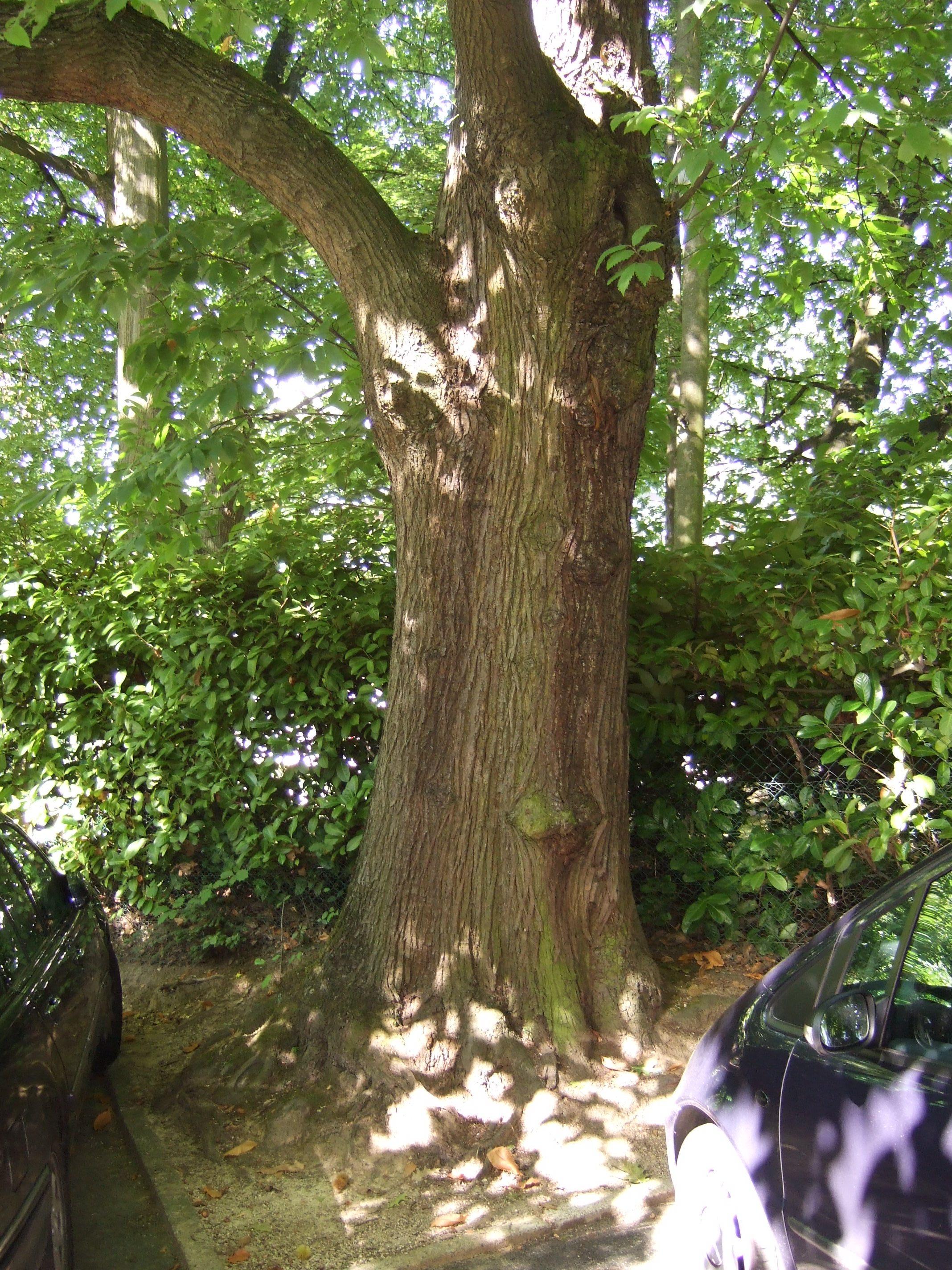 Châtaignier – Uccle, Avenue Ptolémée, 12-14-16 –  22 Septembre 2010