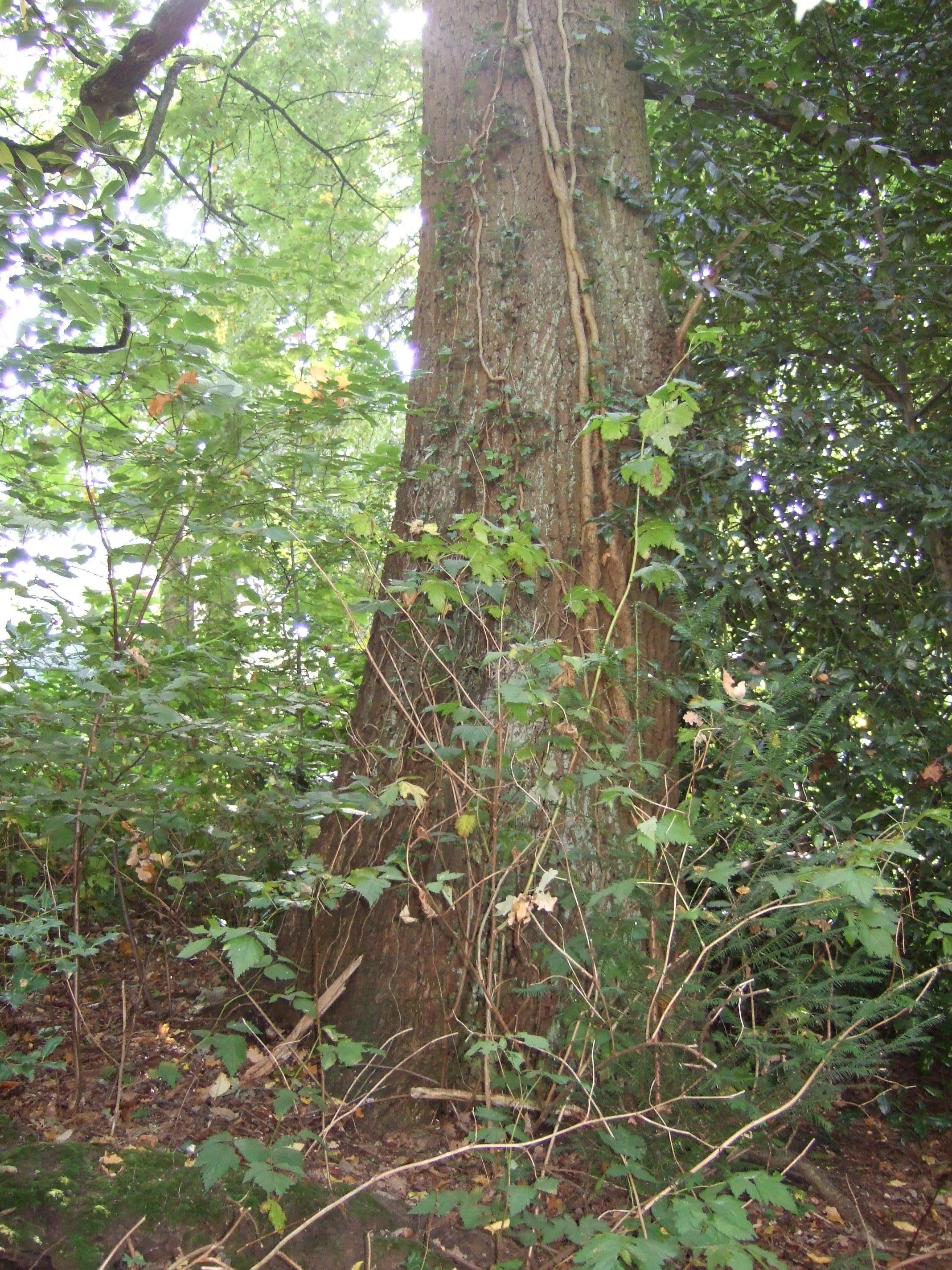 Chêne pédonculé – Uccle, Avenue Juliette, 13 –  22 Septembre 2010