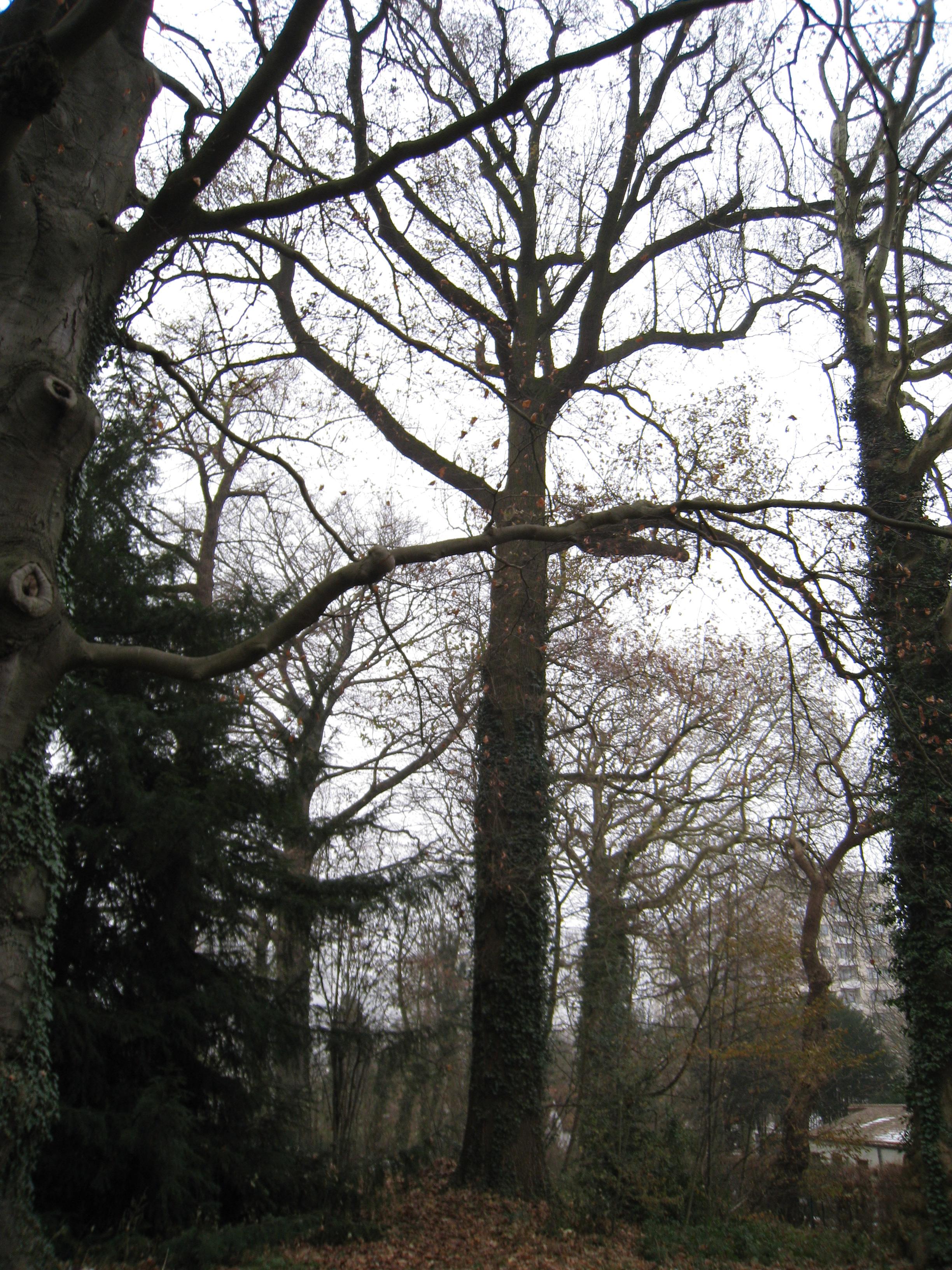 Chêne pédonculé – Jette, Parc Titeca, Avenue de l'Exposition Universelle, 425 –  08 Décembre 2010