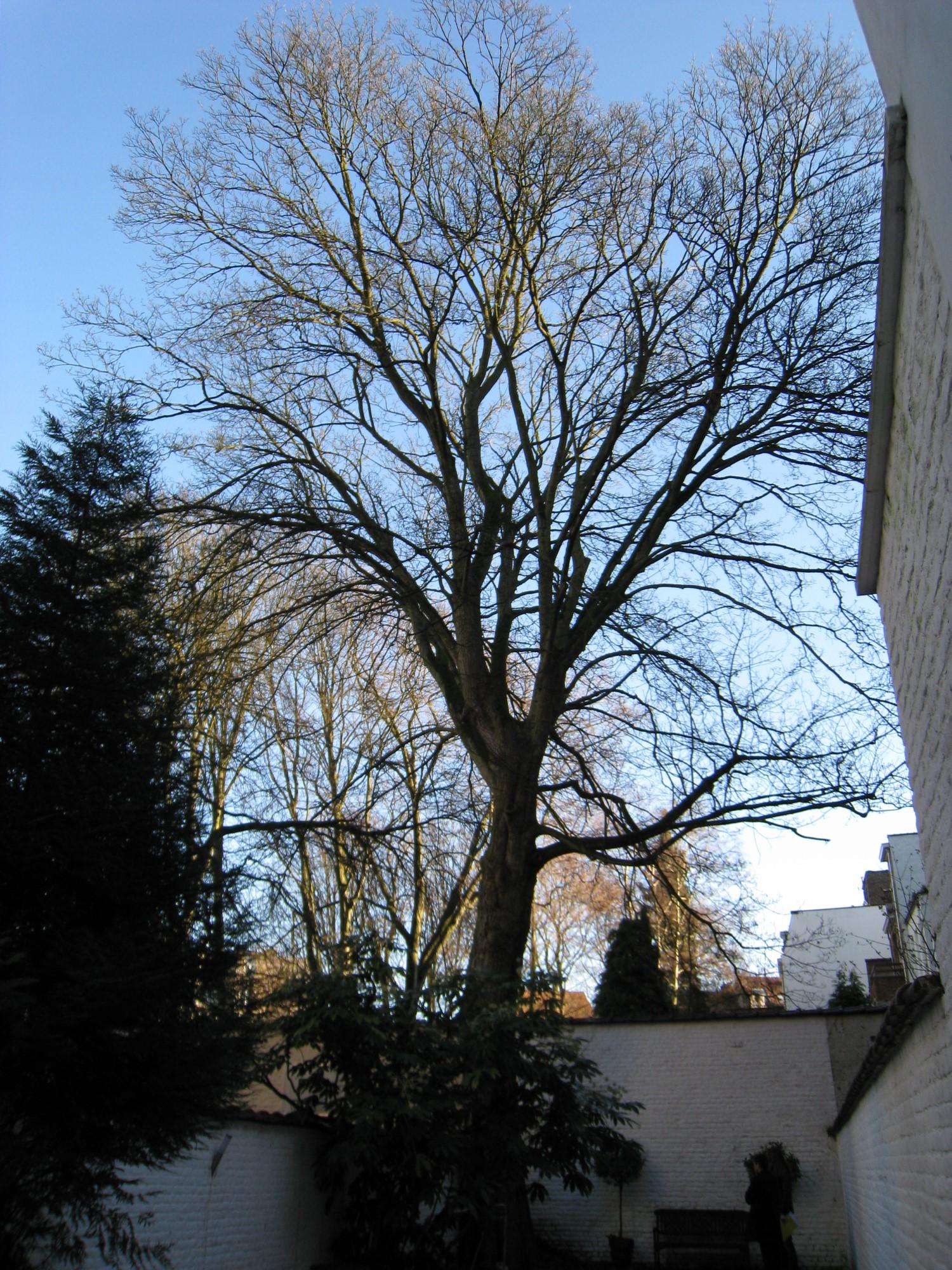 Erable sycomore – Ixelles, Avenue Brugmann, 194 –  20 Janvier 2011