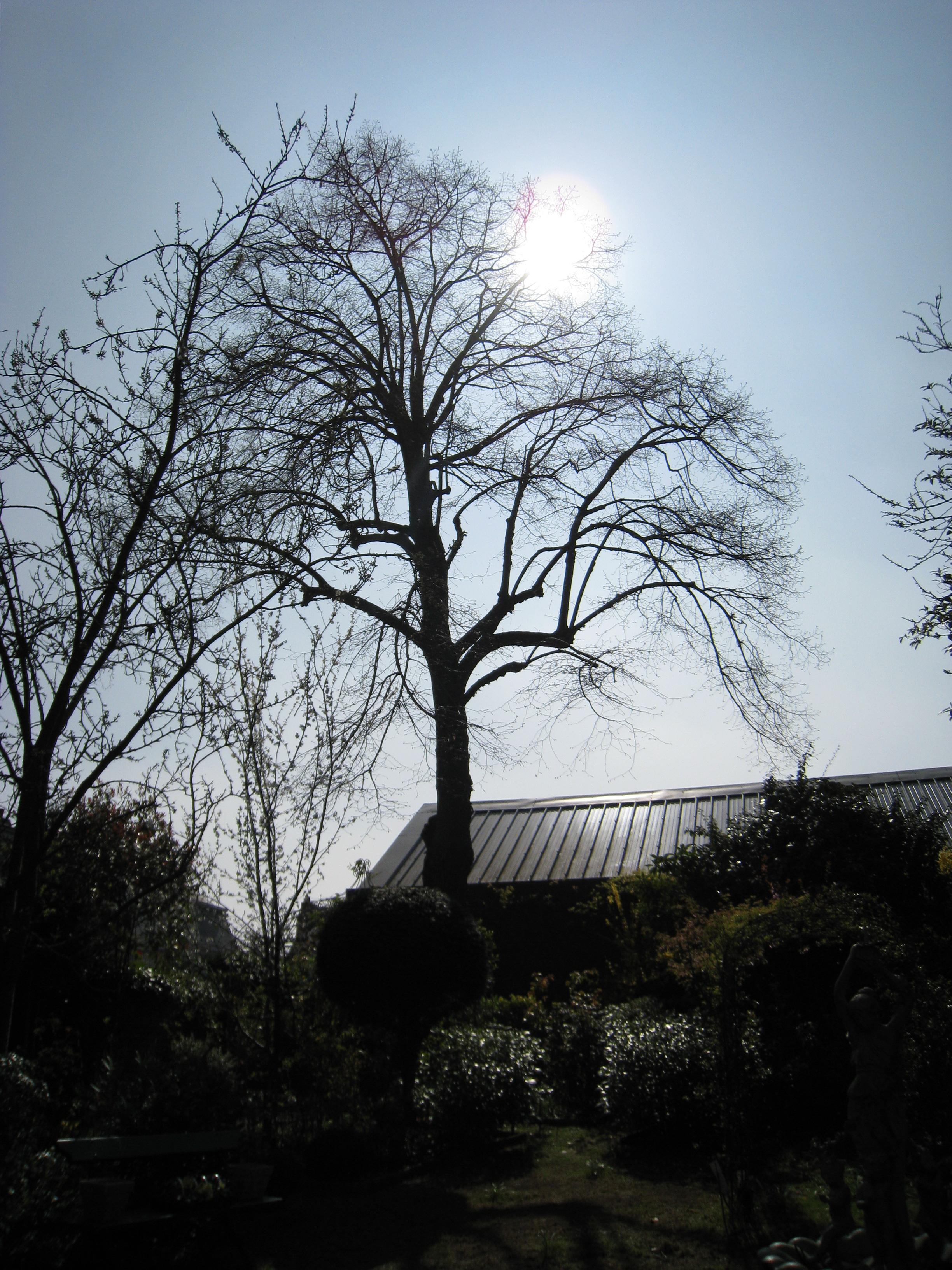 Tilleul à larges feuilles – Woluwé-Saint-Pierre, Rue du Collège Saint-Michel, 12 –  29 Mars 2011