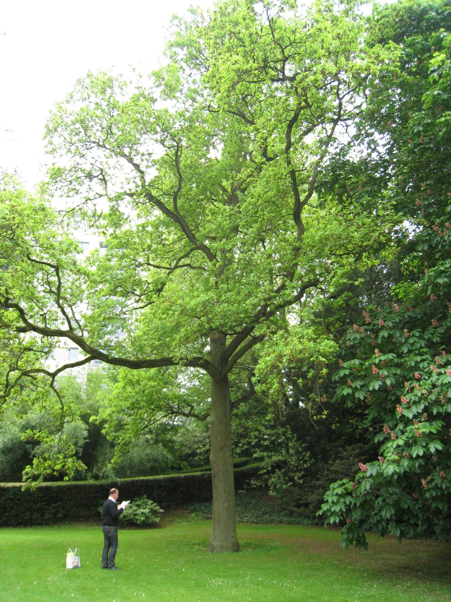 Chêne pédonculé – Bruxelles, Parc Solvay Sports, Avenue du Pérou, 80 –  28 Avril 2011