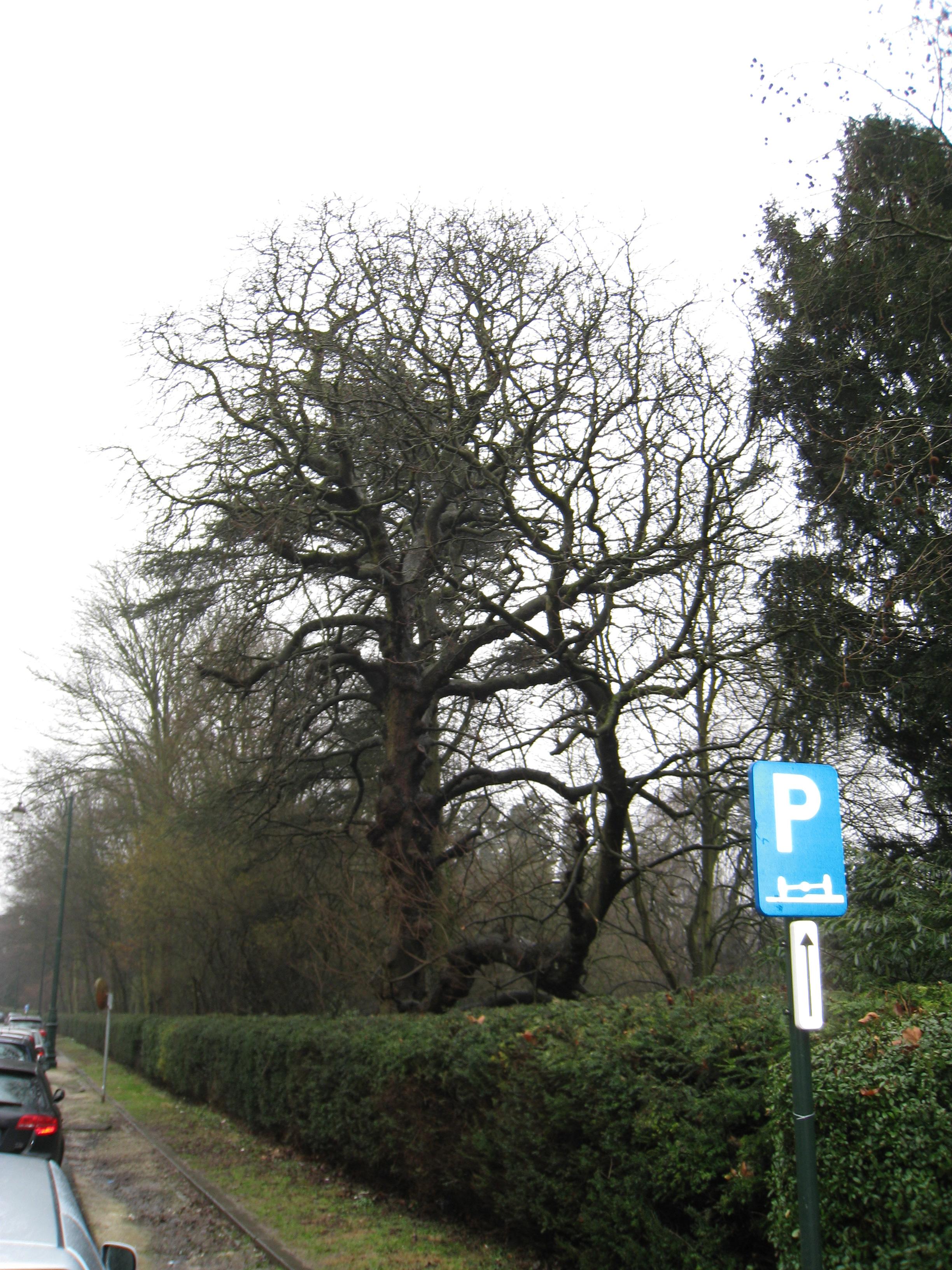 Marronnier commun – Bruxelles, Parc Solvay Sports, Avenue du Pérou, 80 –  24 Février 2011
