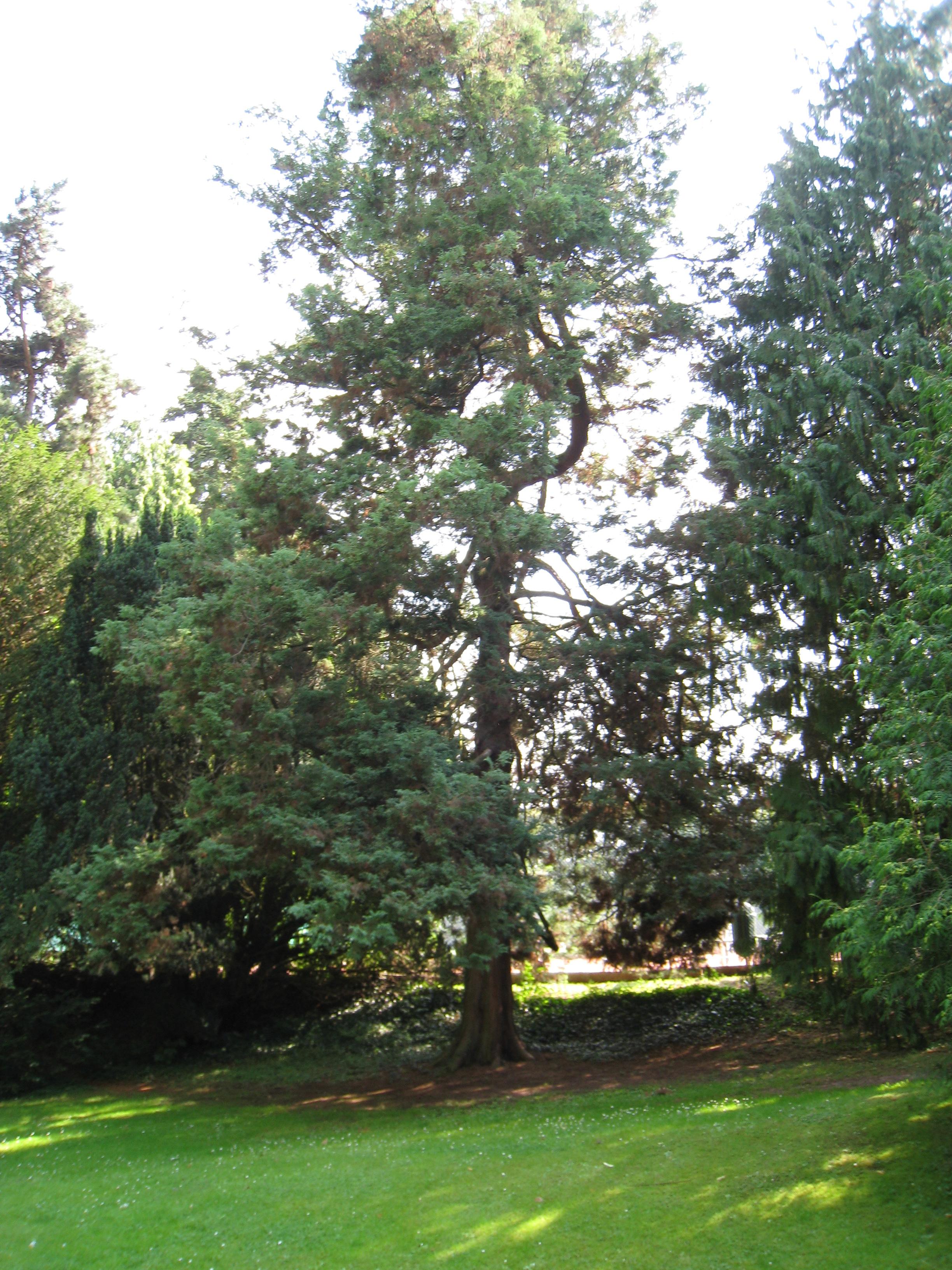 Chamaecyparis pisifera 'Plumosa' – Bruxelles, Parc Solvay Sports, Avenue du Pérou, 80 –  30 Juin 2011