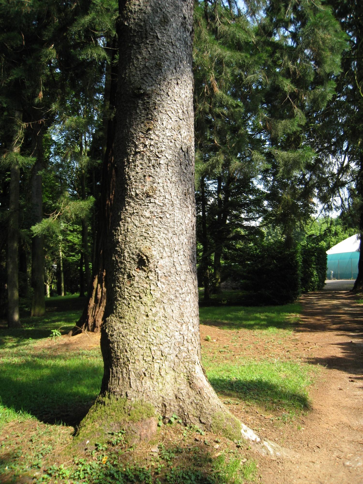 Epicea commun – Bruxelles, Parc Solvay Sports, Avenue du Pérou, 80 –  30 Juin 2011