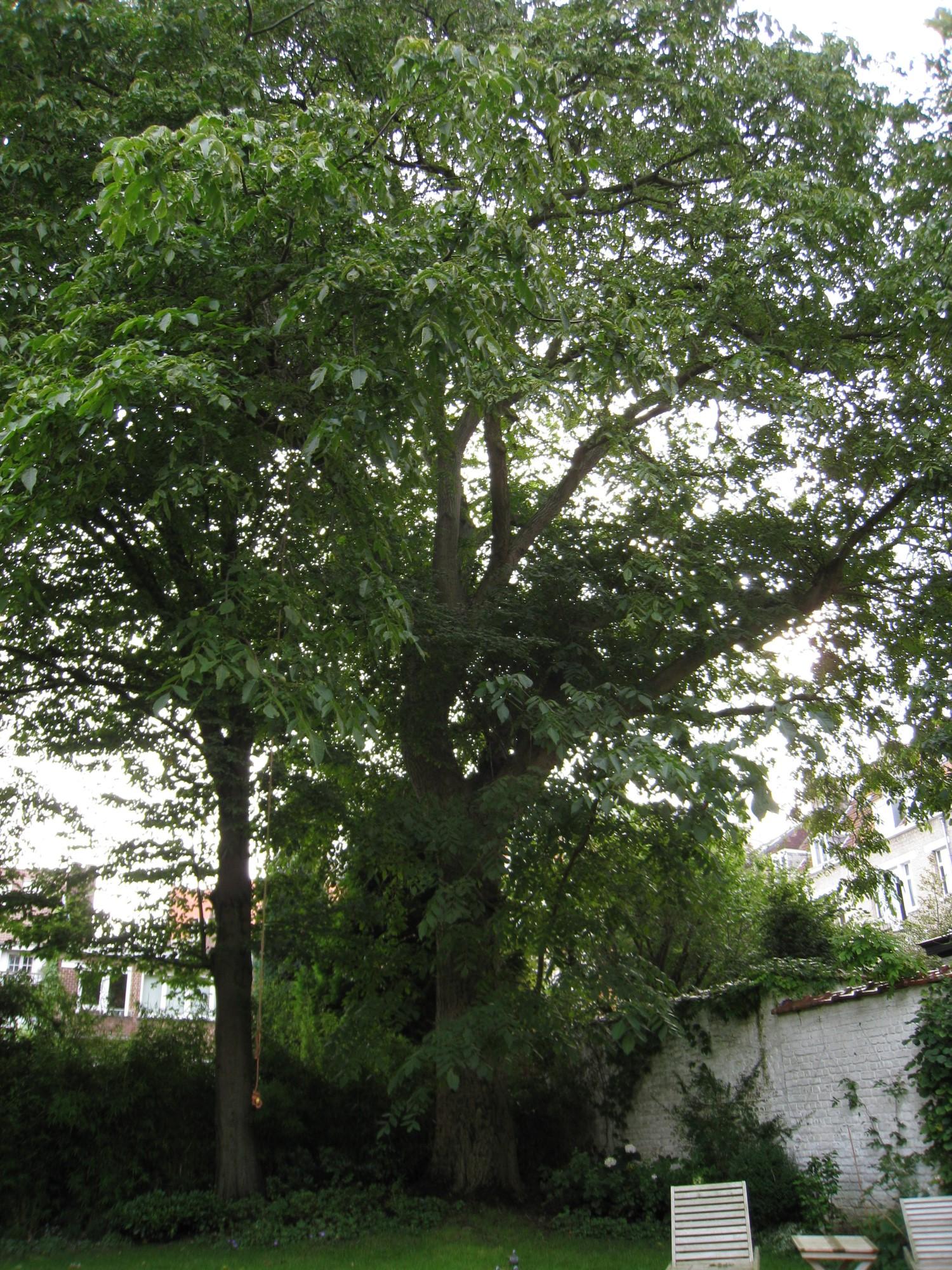 Noyer royal – Ixelles, Rue Mignot Delstanche, 98 –  07 Septembre 2011