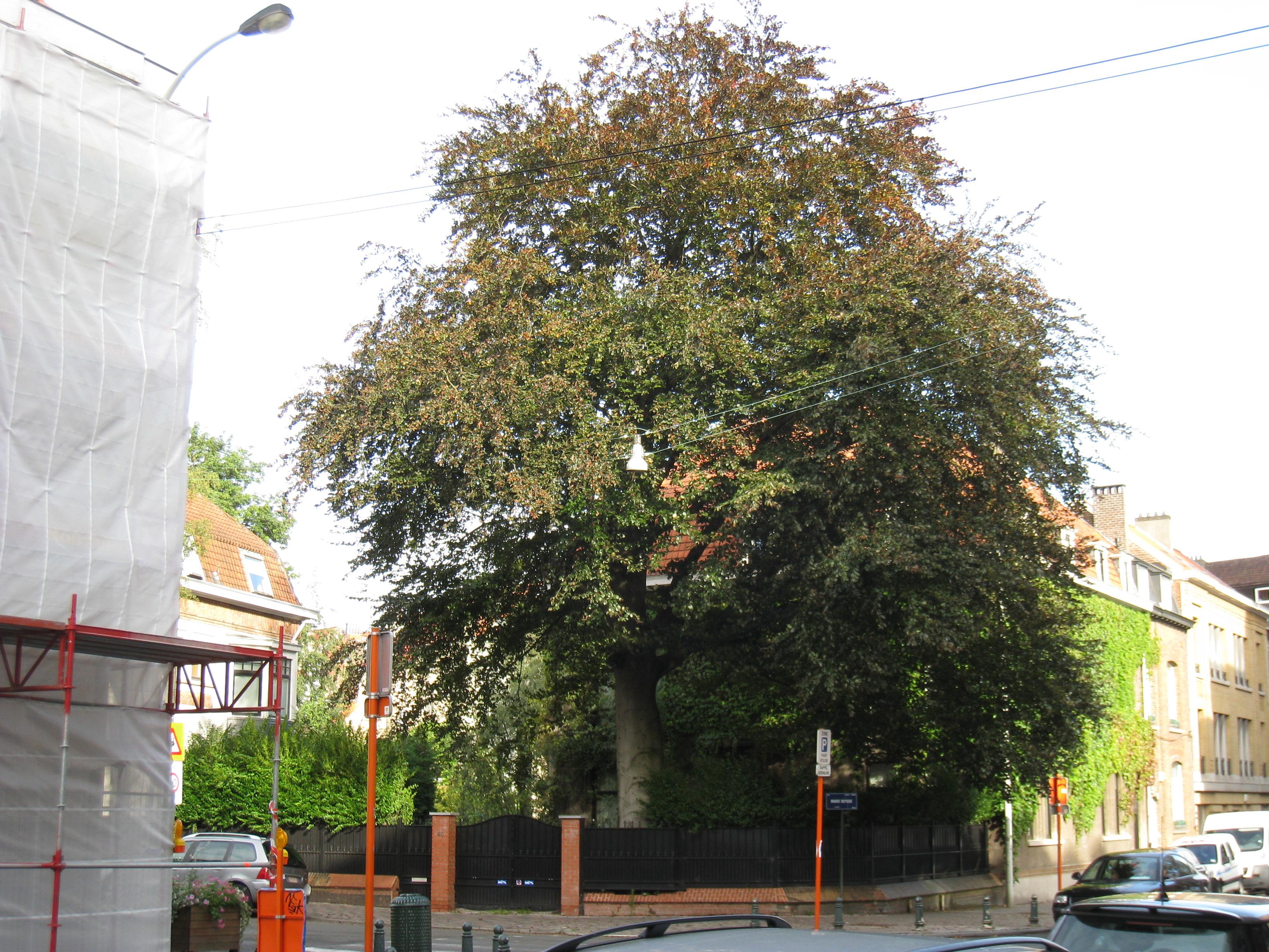 Hêtre pourpre – Uccle, Rue Marie Depage, 40 –  07 Septembre 2011