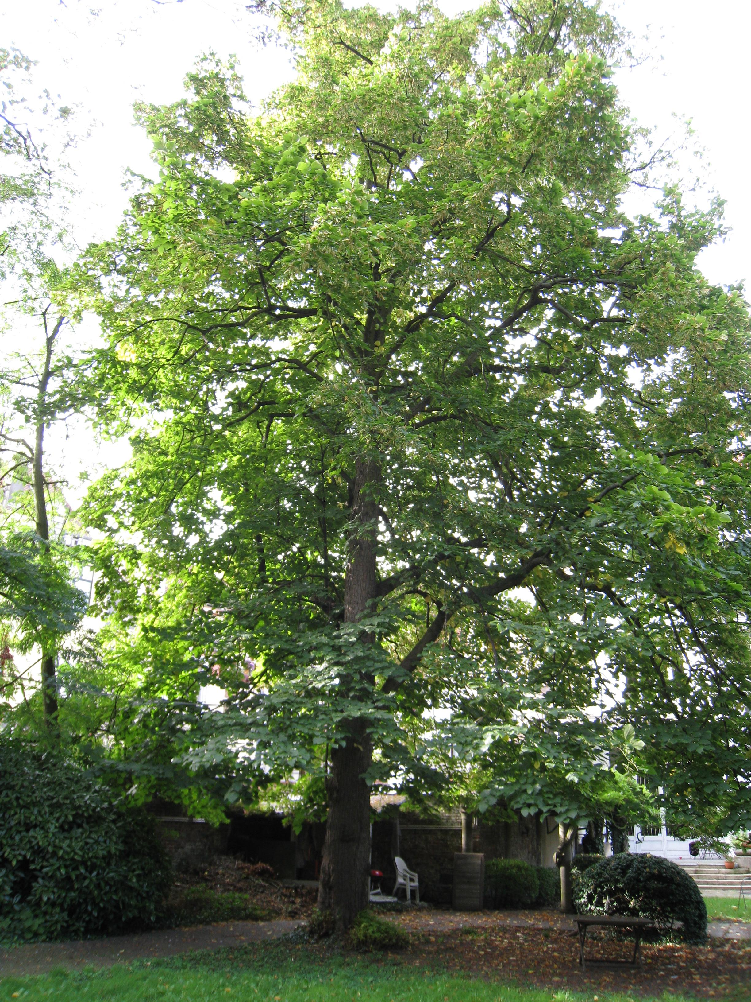 Tilleul à larges feuilles – Ixelles, Rue Simonis, 44 –  22 Septembre 2011