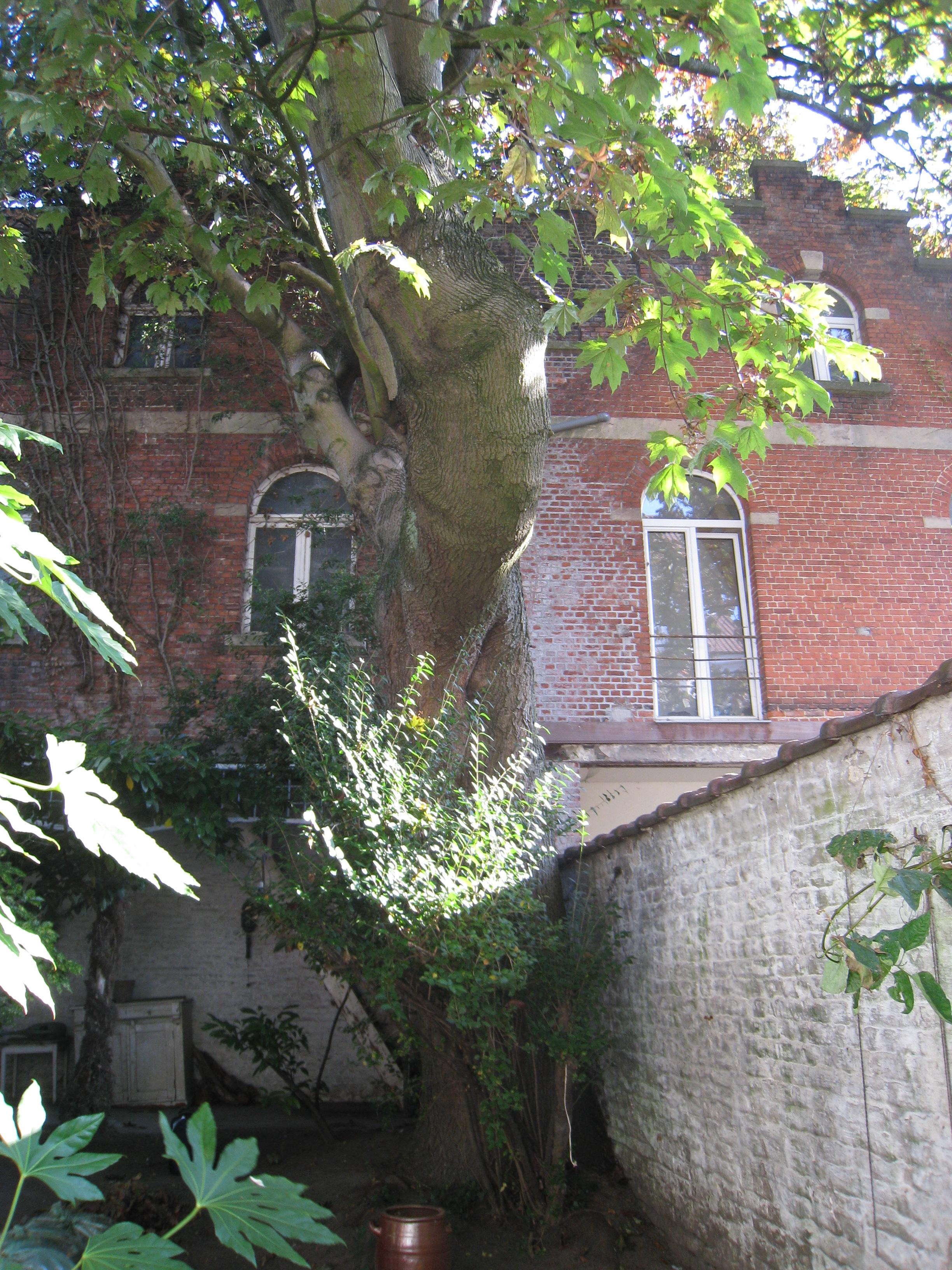 Erable plane – Ixelles, Rue du Trône, 156 –  28 Septembre 2011