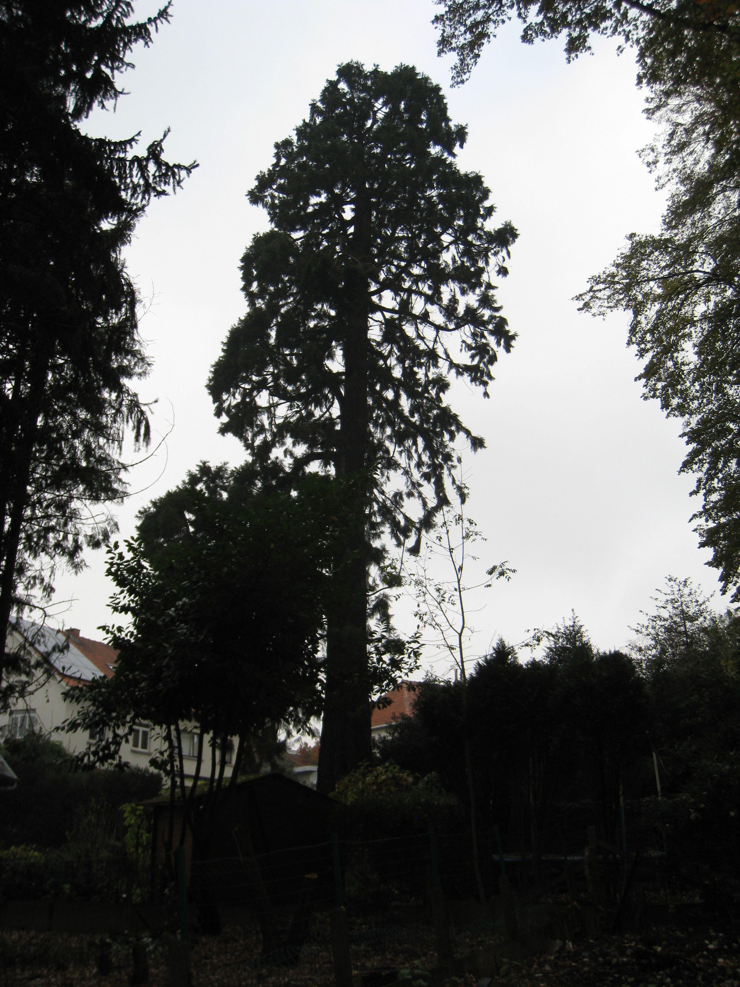Sequoia géant – Molenbeek-Saint-Jean, Rue Sleutelplas, 27 –  24 Novembre 2011