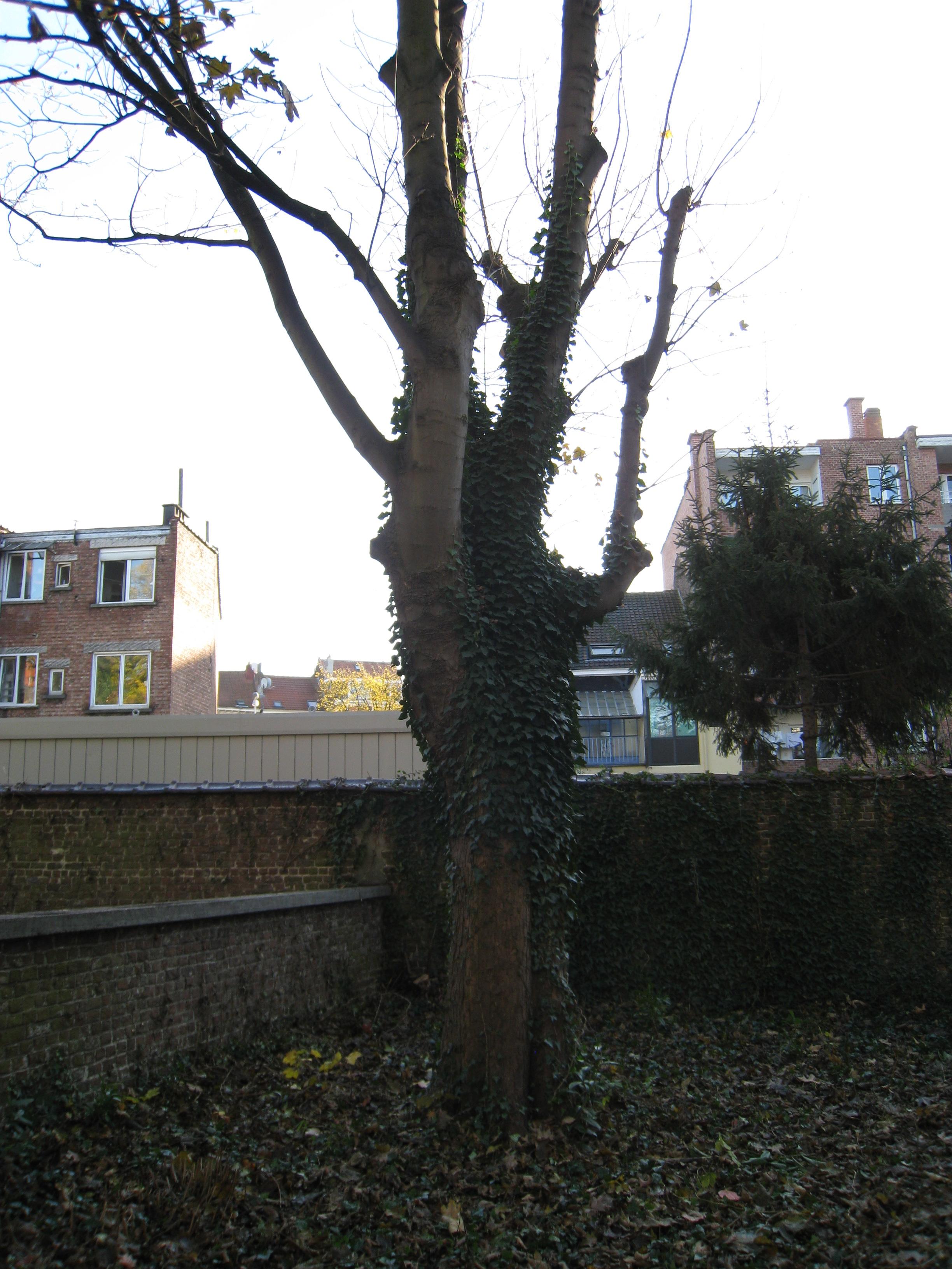 Gewone esdoorn – Schaarbeek, Lambermontlaan, 184-186 –  28 November 2011