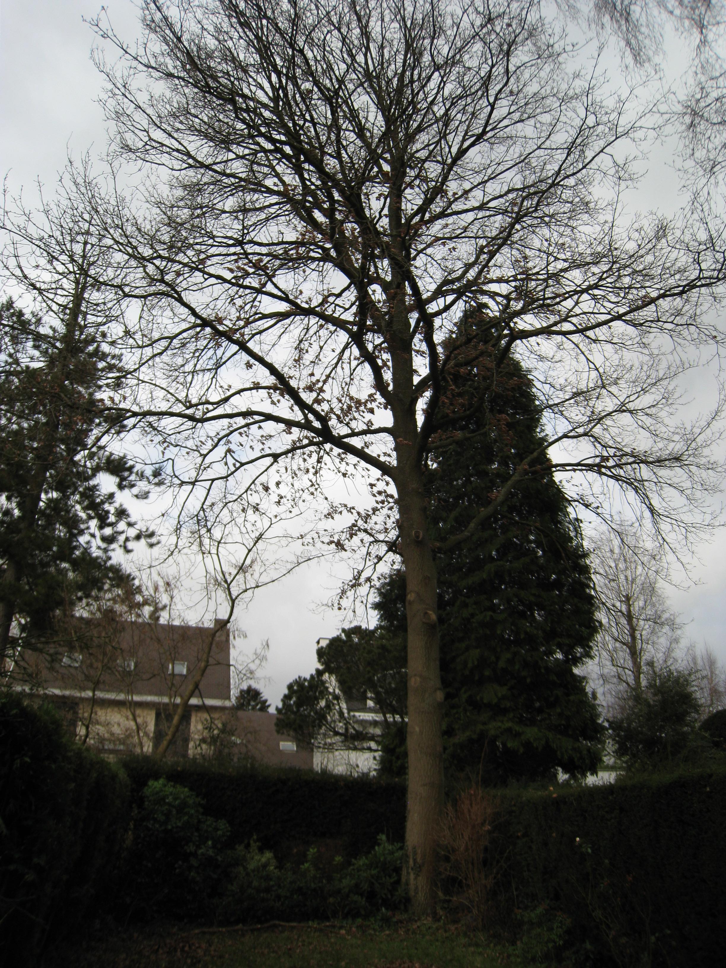 Chêne pédonculé – Auderghem, Rue Léon Vande Woesteyne, 5 –  23 Janvier 2011