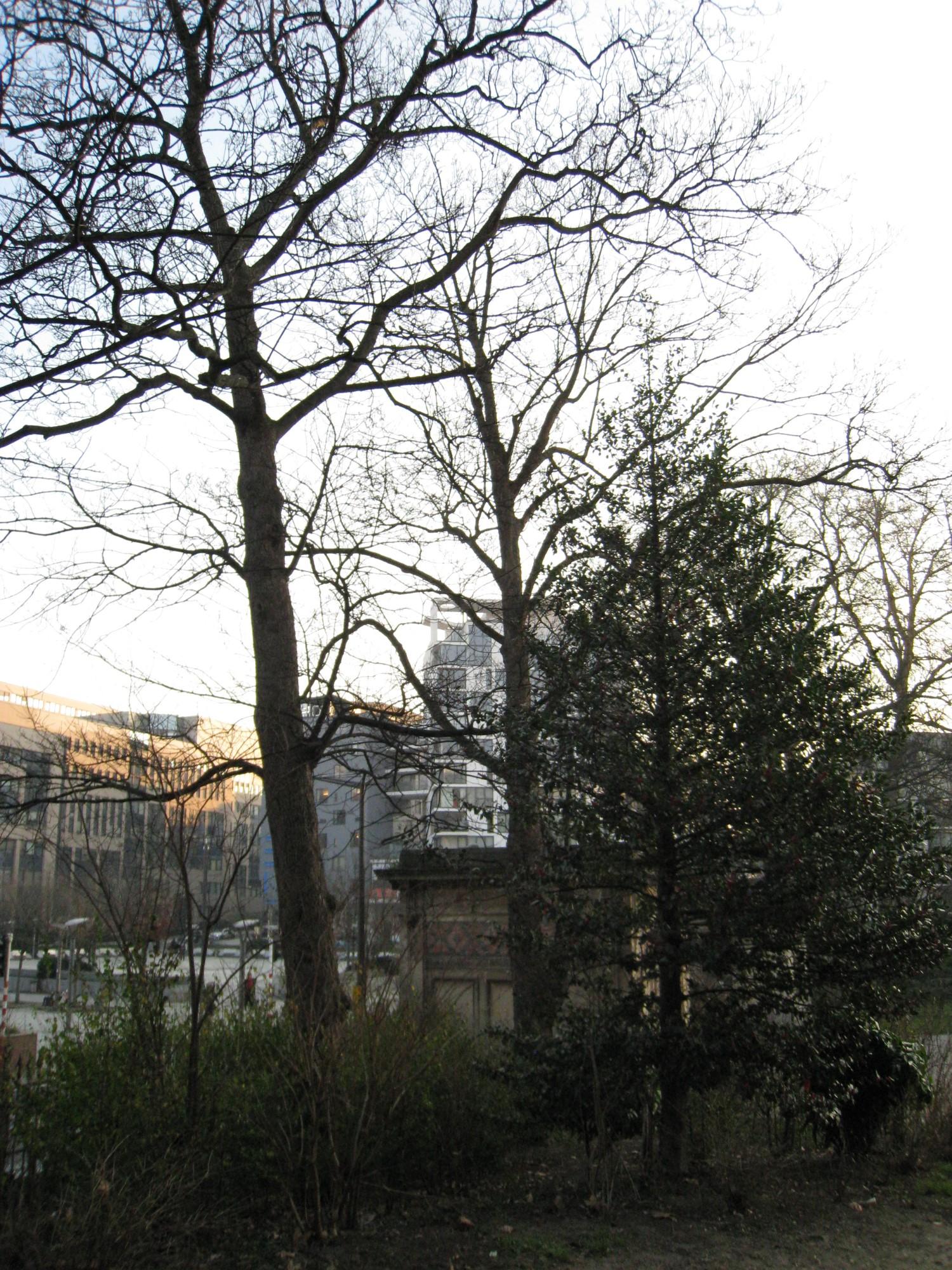 Erable sycomore – Bruxelles, Parc Léopold –  01 Février 2012